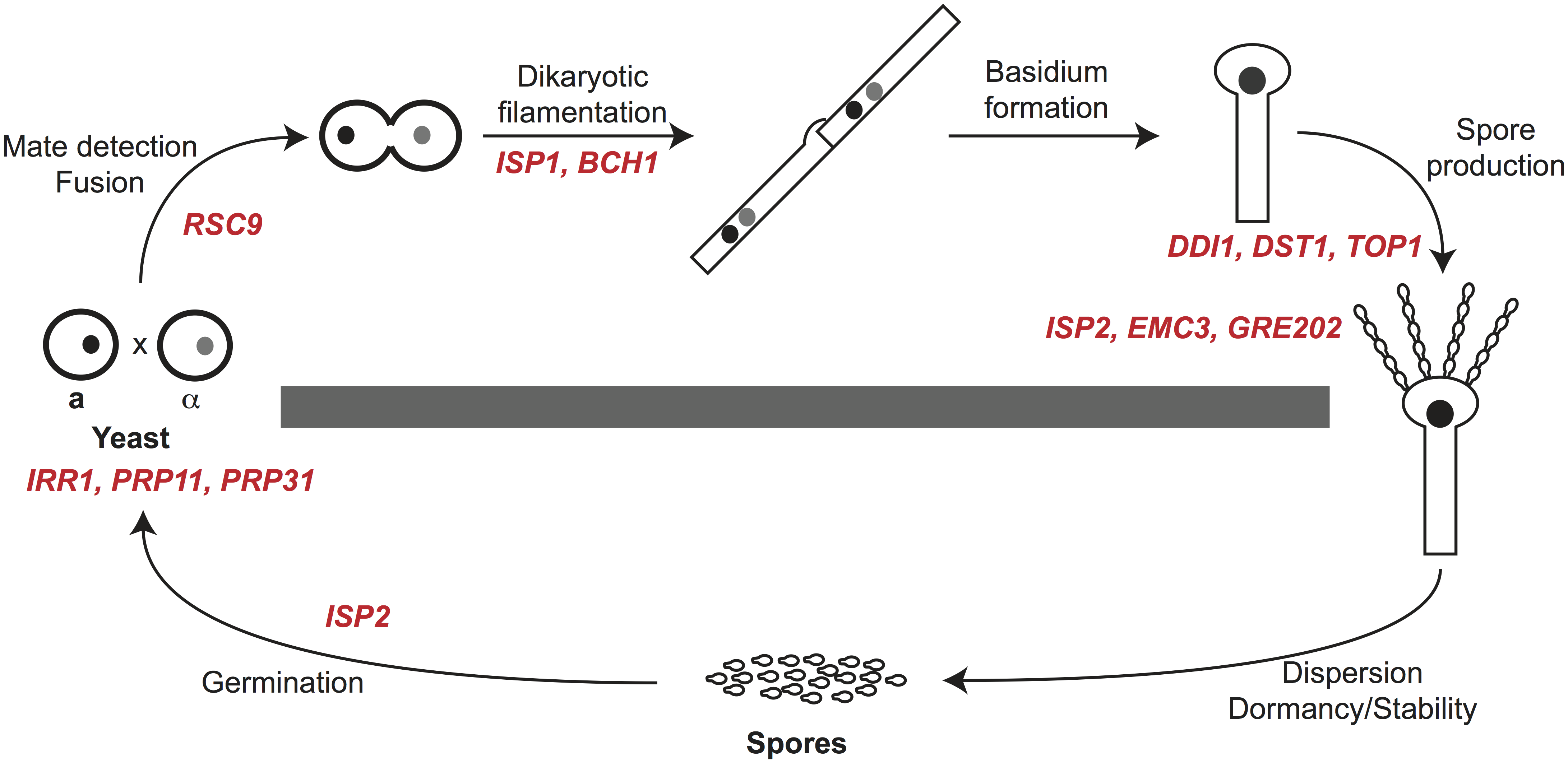 Summary of spore-enriched protein mutant phenotypes.