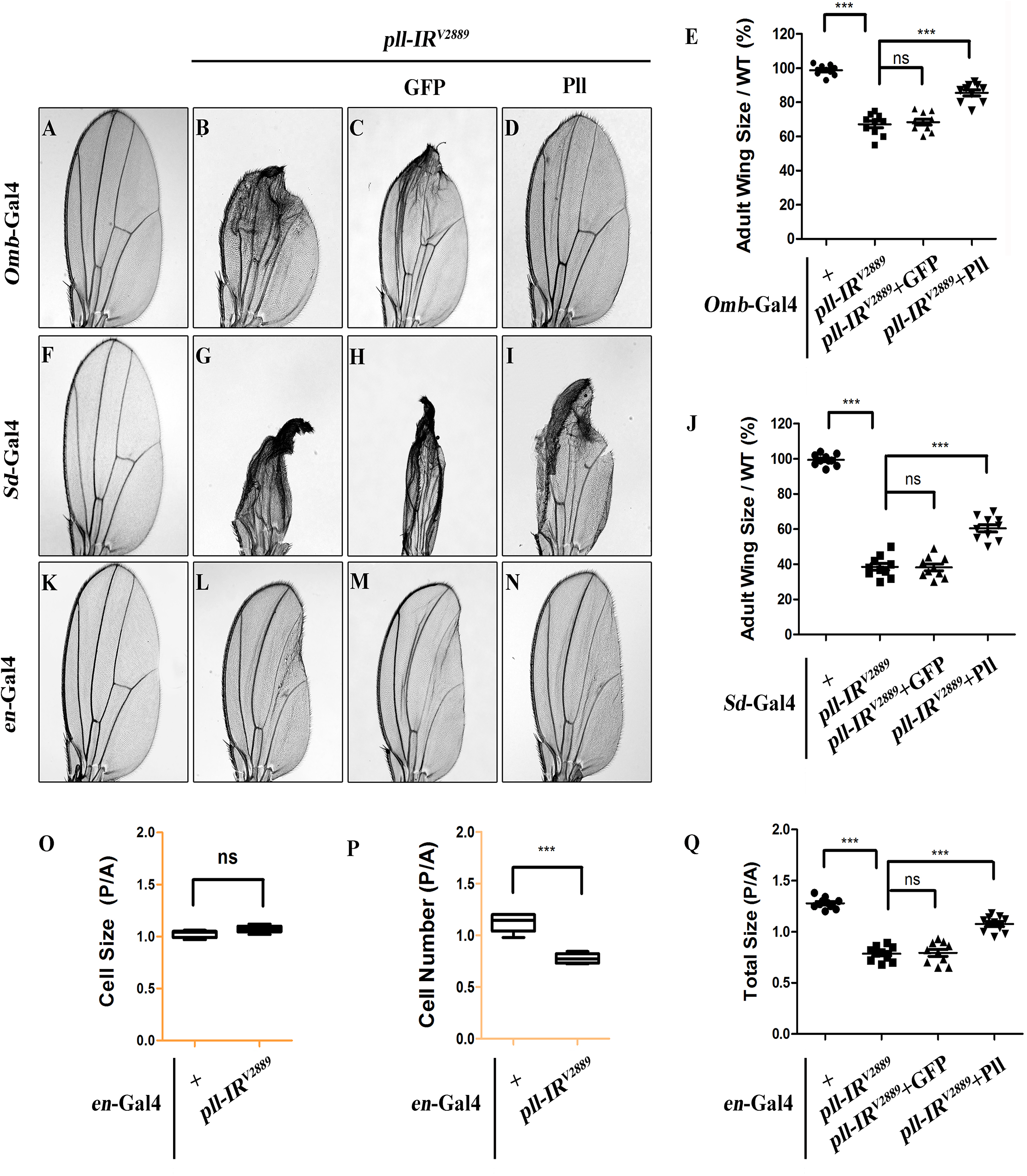 <i>pll</i> regulates cell number, but not cell size in adult wing.