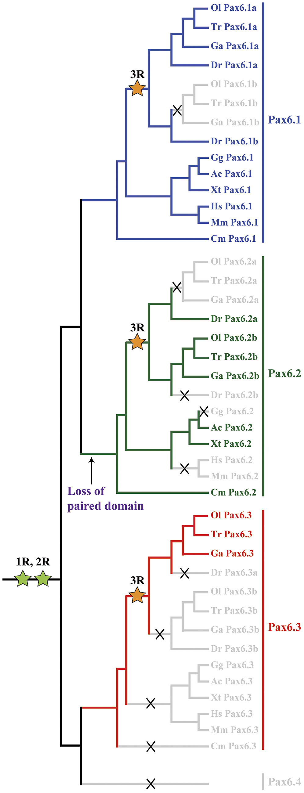 Evolutionary history of the <i>Pax6</i> gene family in vertebrates.