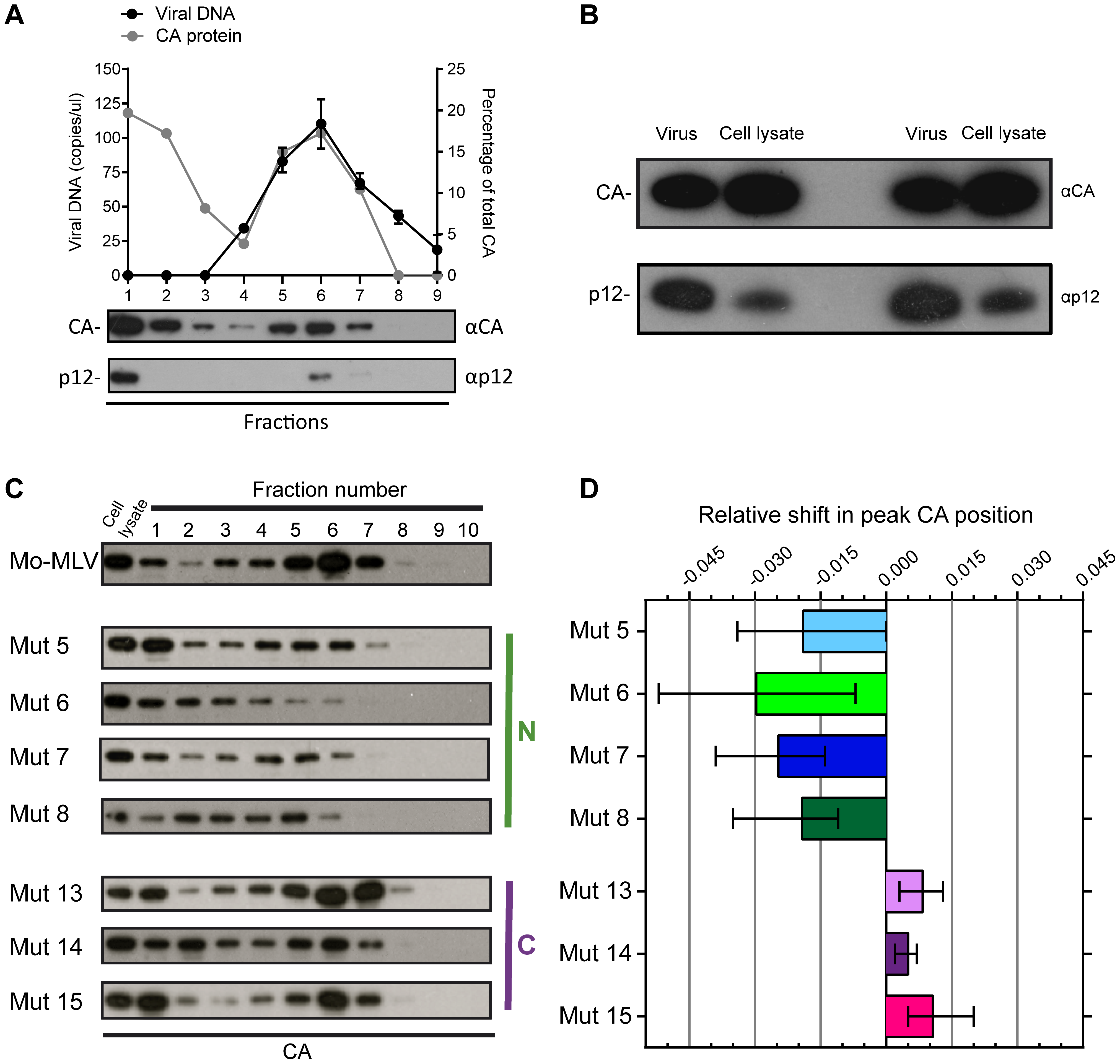 The effect of p12 mutations on the biophysical properties of the Mo-MLV RTC.