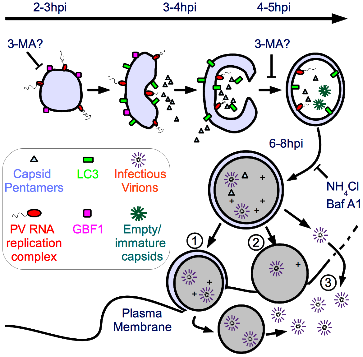 Model of potential roles of autophagosome-amphisome in PV production and cell exit.