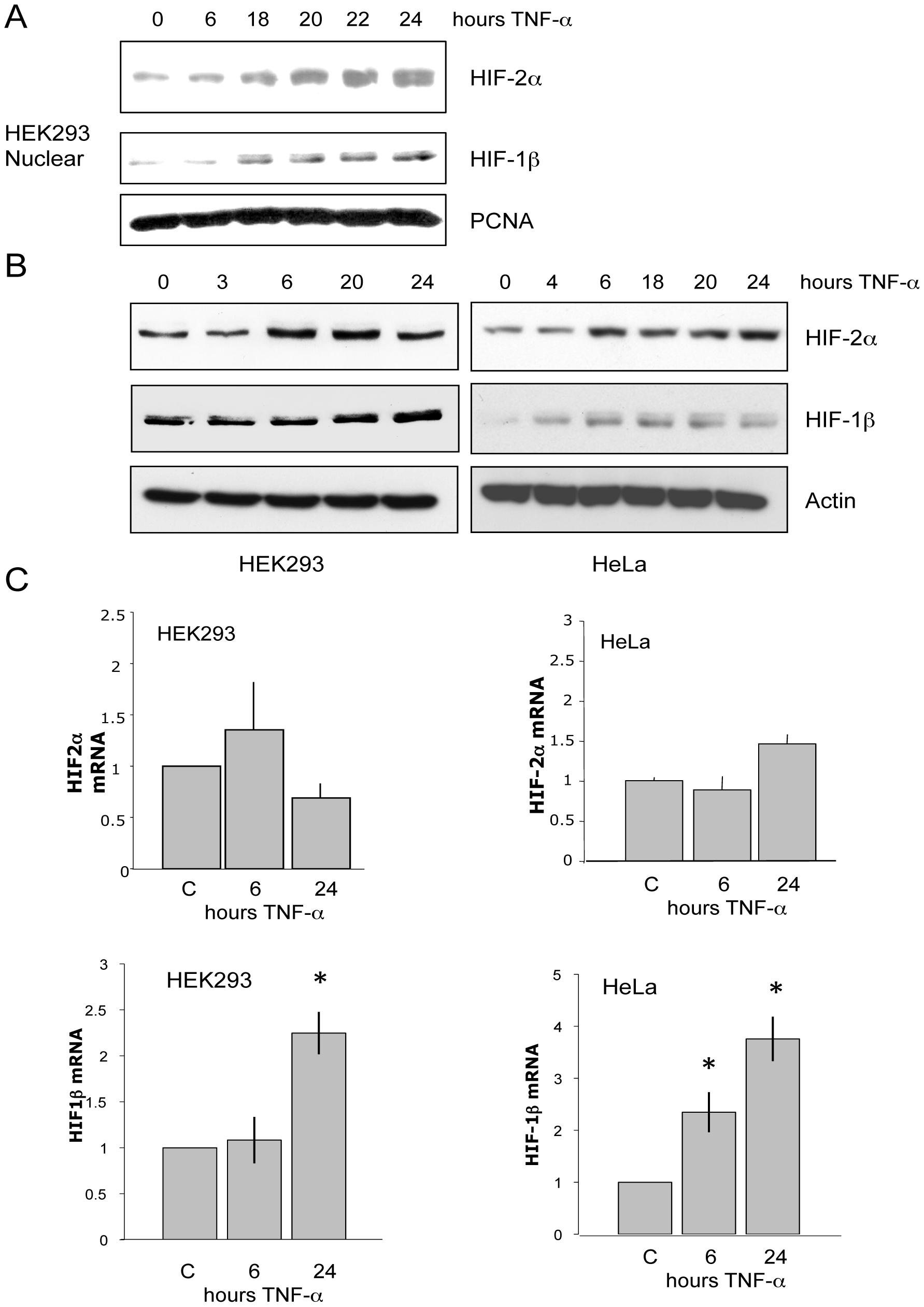 TNF-α induces HIF-1β and HIF-2α protein but only HIF-1β mRNA.