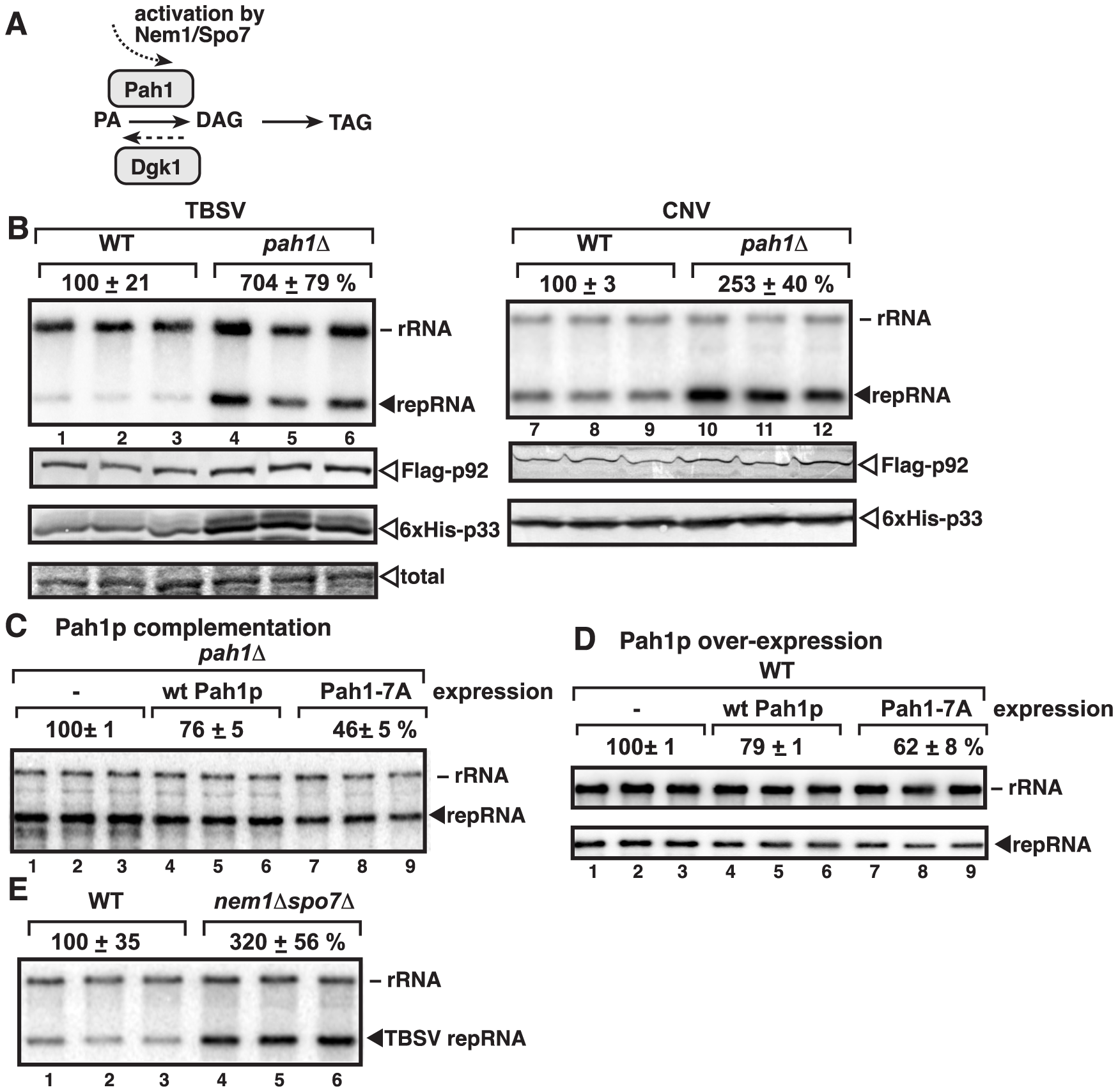 Deletion of the single yeast lipin gene (<i>PAH1</i>) enhances TBSV repRNA accumulation.