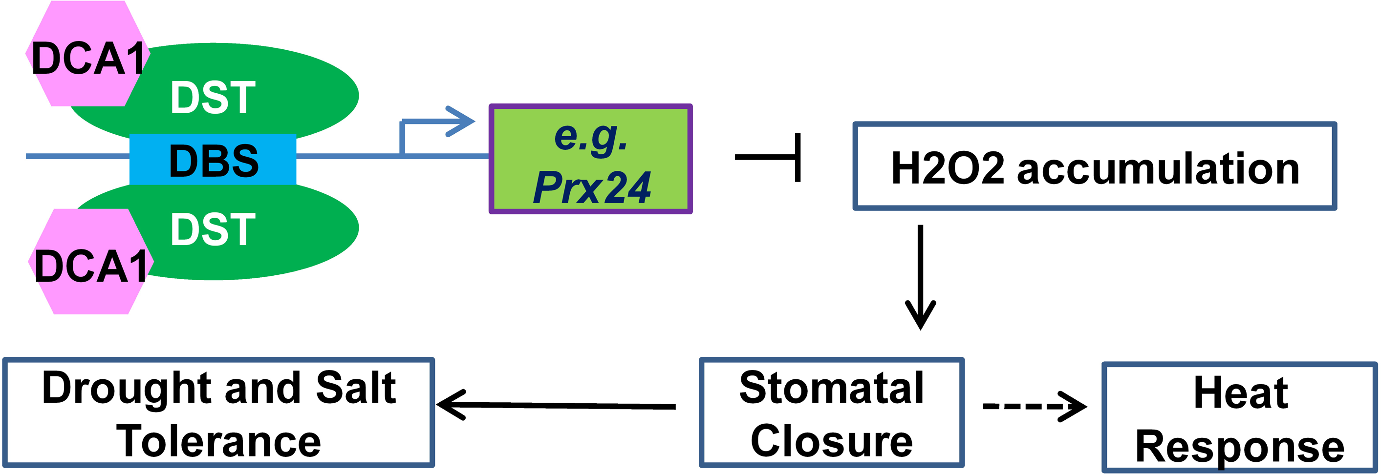 Working model for the role of the DCA1-DST transcriptional regulation complex in plants.