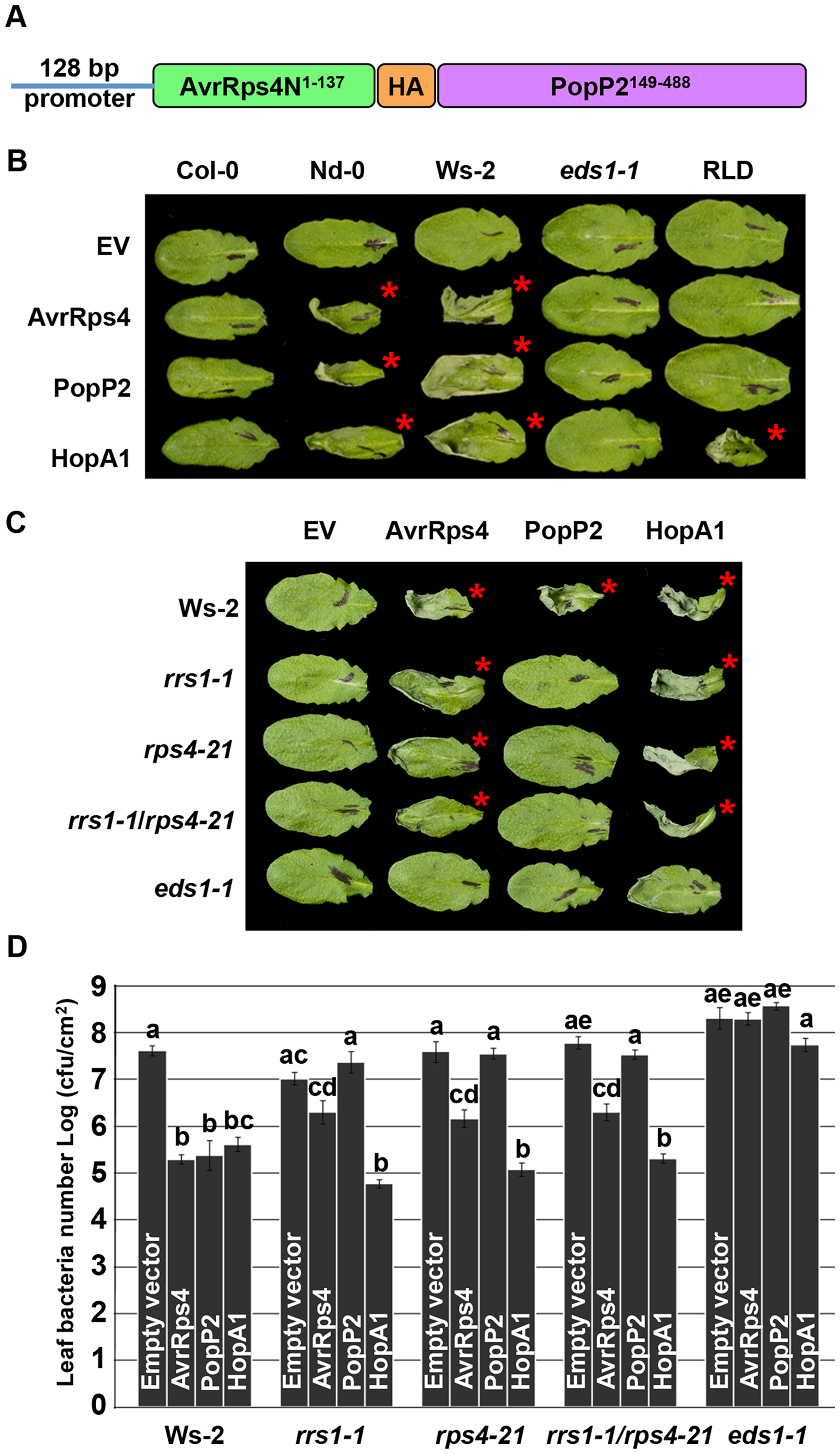 PopP2 triggers RPS4/RRS1/EDS1-dependent hypersensitive response and immunity when delivered from <i>Pseudomonas</i>.