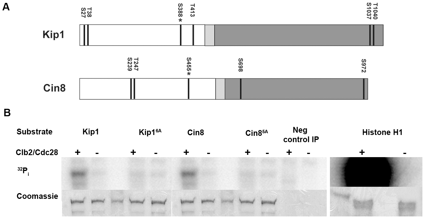 Phosphorylation of Kip1 and Cin8 by Clb2/Cdc28 <i>in vitro</i>.