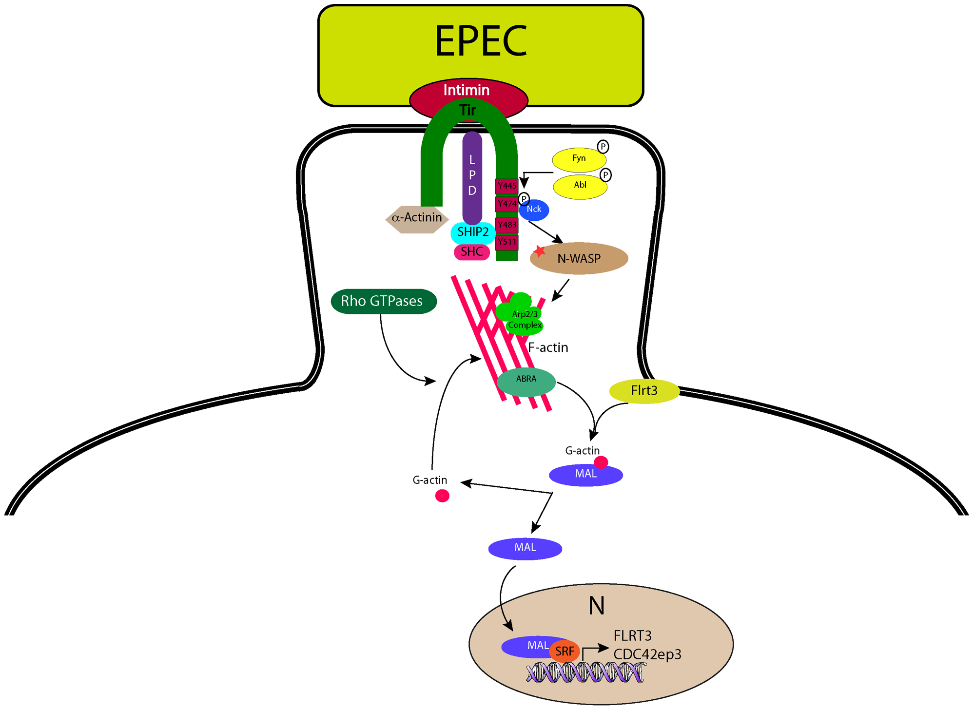 A model for EPEC-induced activation of host-cell transcription factor SRF.
