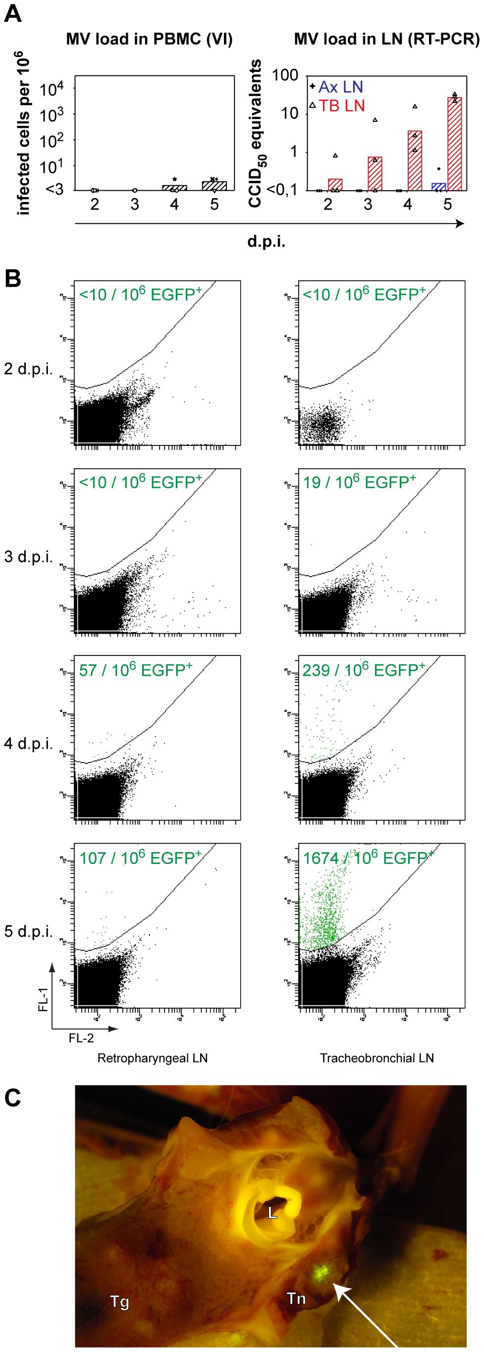Systemic rMV<sup>KS</sup>EGFP replication.