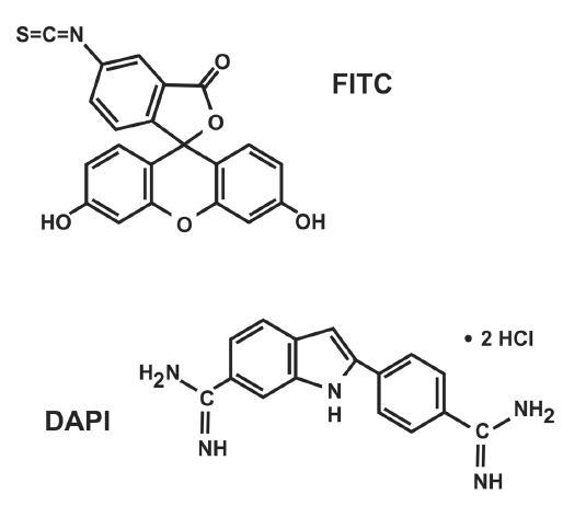 """Příklady chemické struktury fluorochromů. FITC [fluorescein 5(6)-isothiokyanát] často používaný fluorochrom pro značení sond (poskytuje zelenou fluorescenci) a DAPI [4´,6-diamidino-2-phenylindol dihydrochlorid hydrát] často používaný fluorochrom pro """"dobarvení"""" jader – ozřejmí rozvolněnou interfázickou DNA (poskytuje modrou fluorescenci)."""