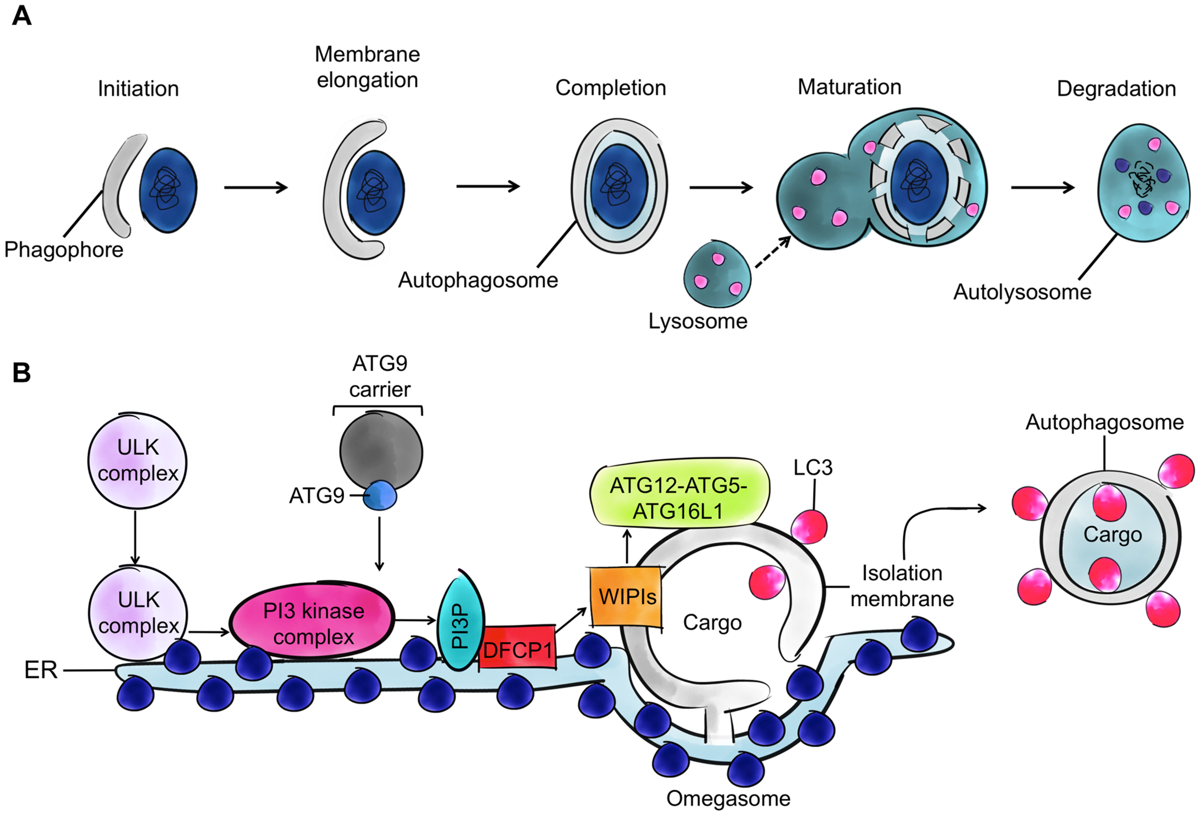 Autophagy and the four cytoskeleton components.