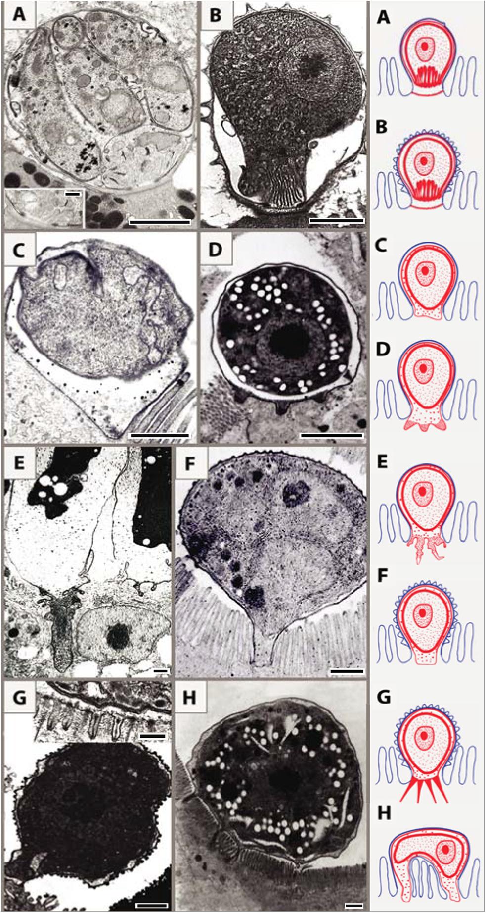 Schematic interpretation of host–parasite interactions of epicellular piscine cryptosporidians and coccidians.