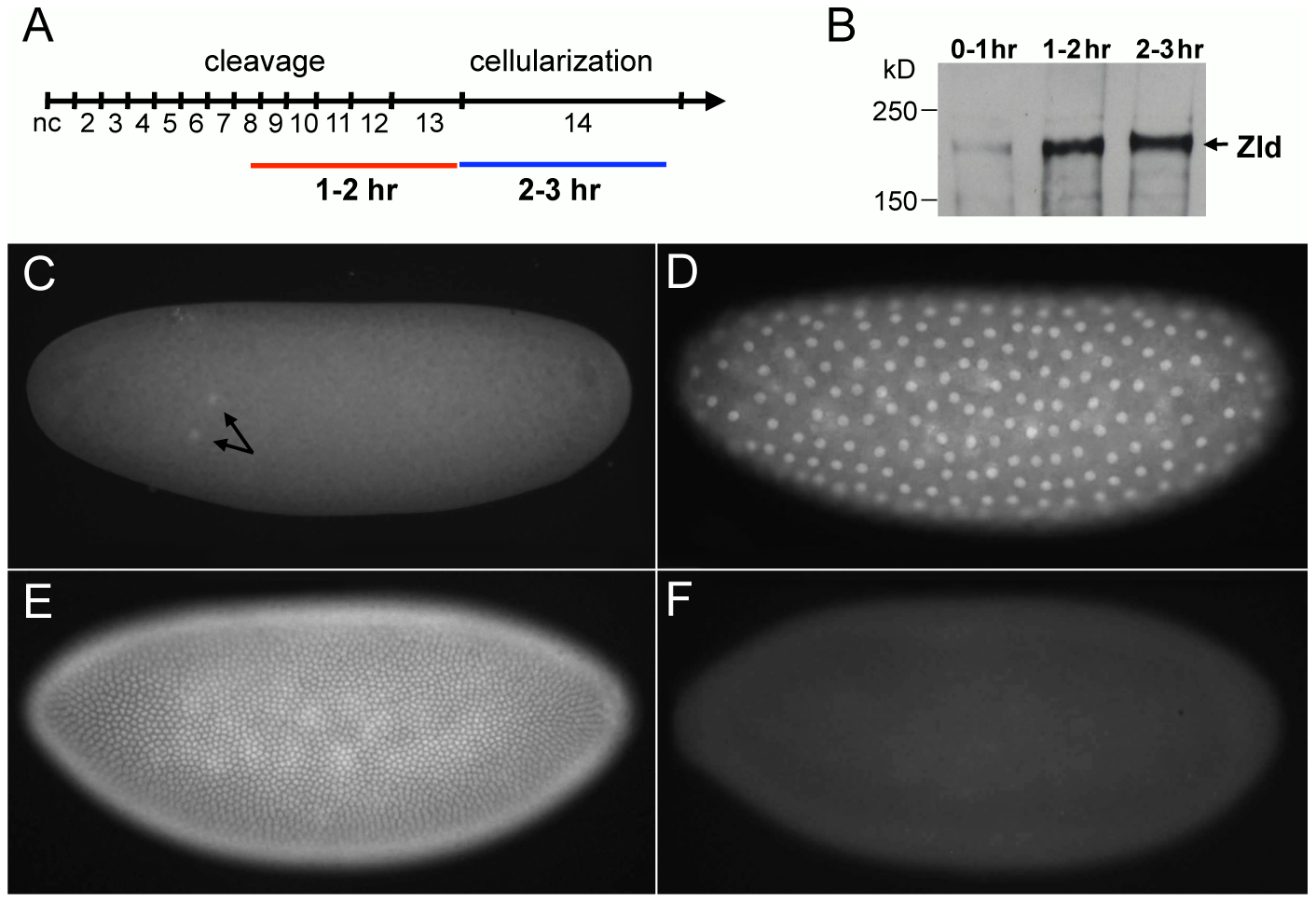 Zld protein expression in early embryos.