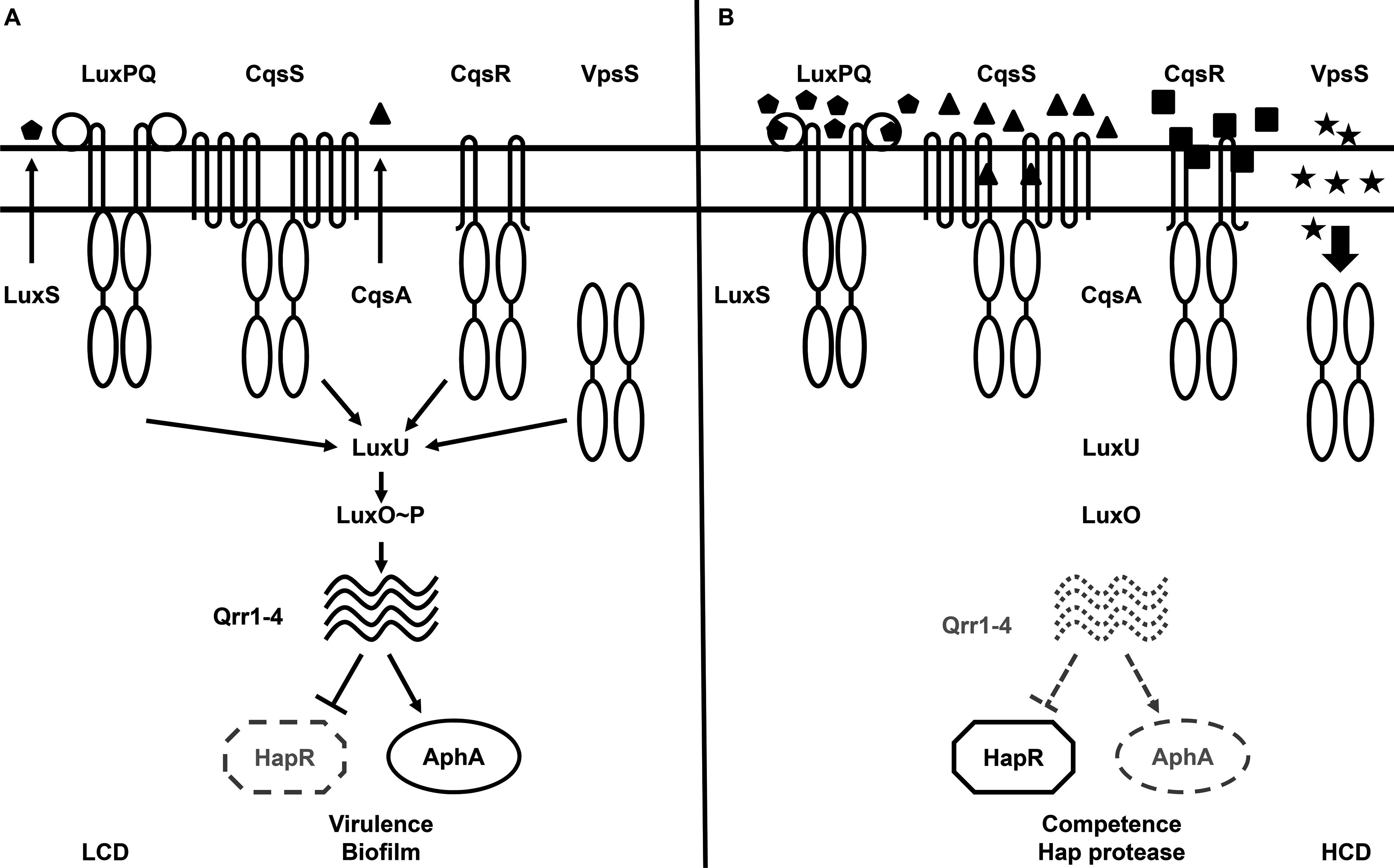 The proposed <i>Vibrio cholerae</i> quorum-sensing (QS) signal transduction system.