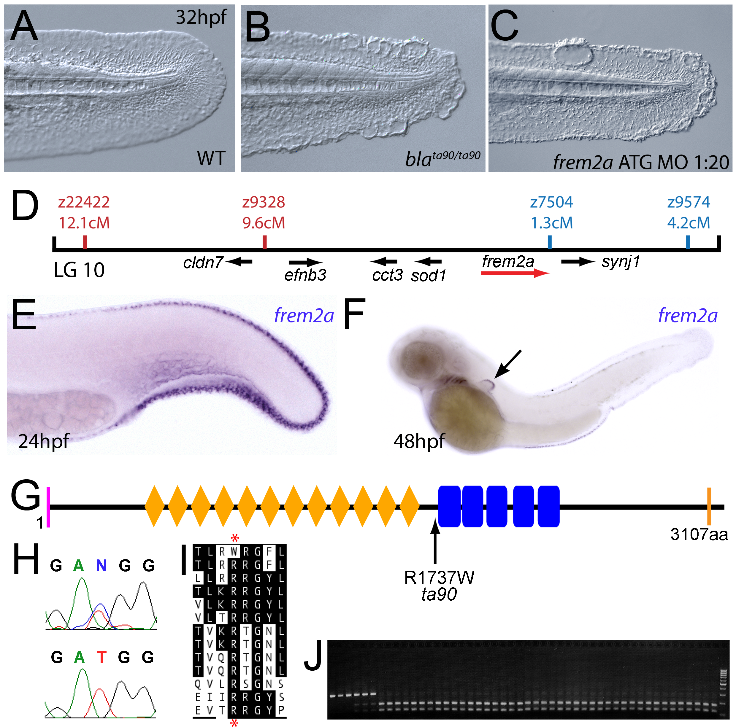 The fin blistering of the <i>blasen</i> mutant is caused by mutation of Frem2a.