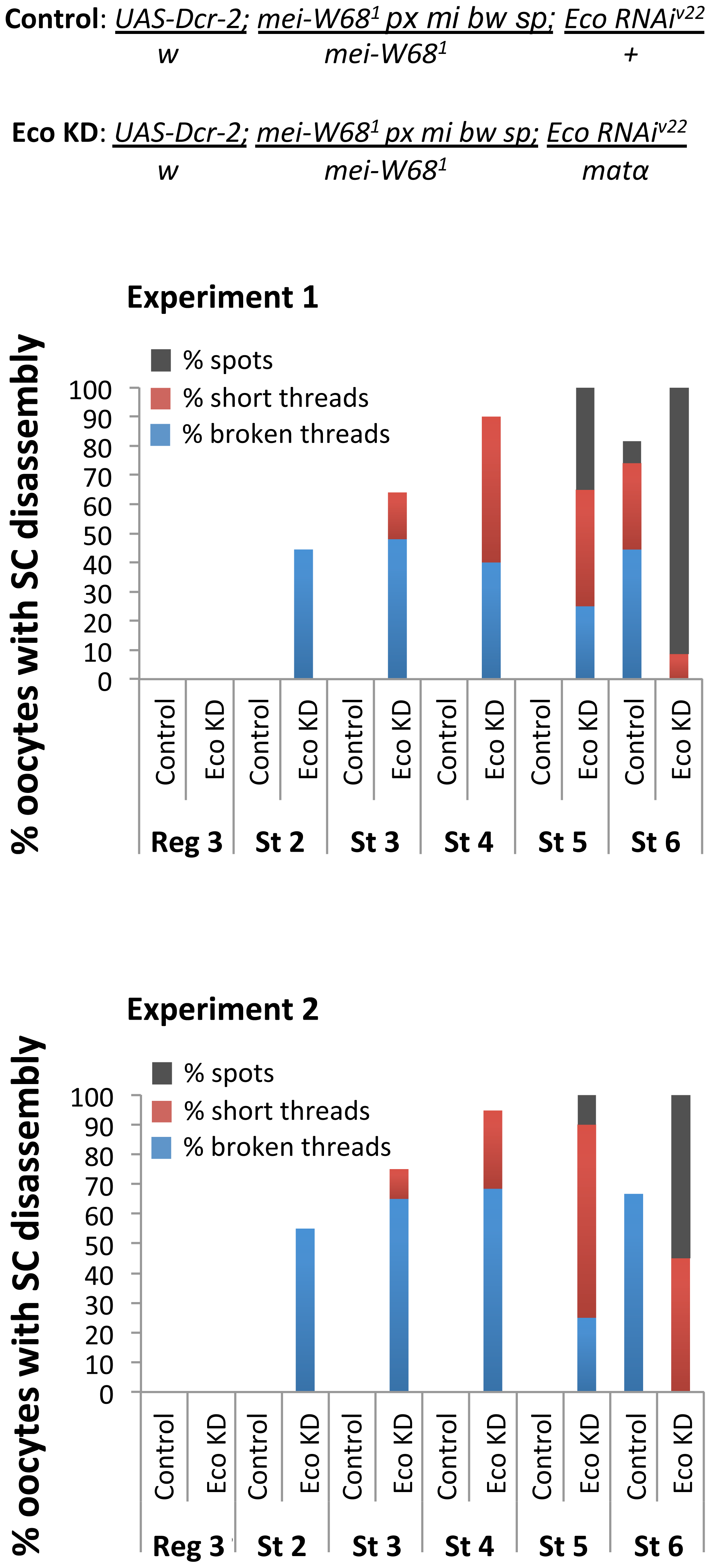 Stabilization of the SC depends on Eco even in the absence of Spo-11 induced DSBs.