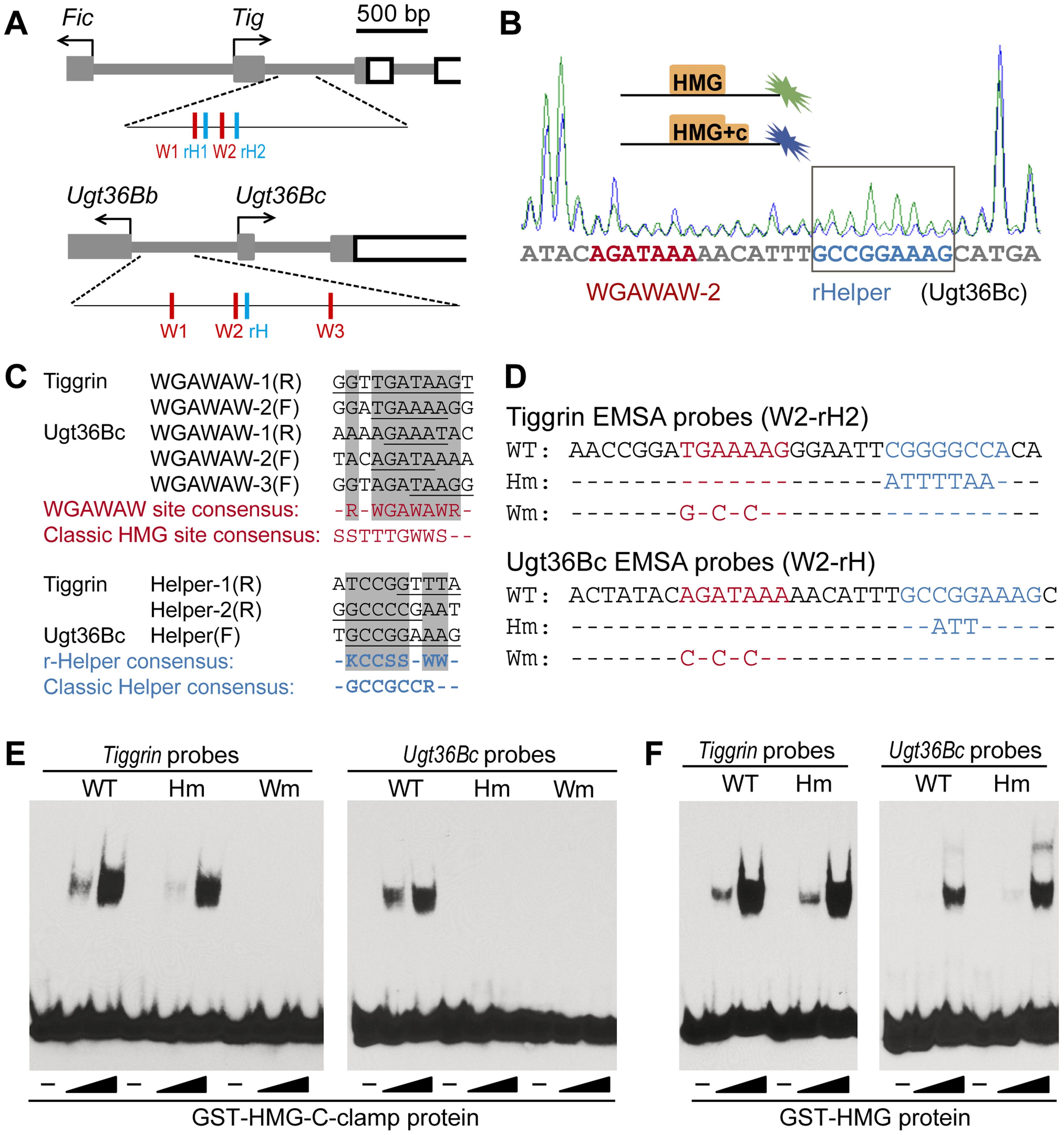 TCF recognizes repressed W-CRMs through a bipartite mechanism.
