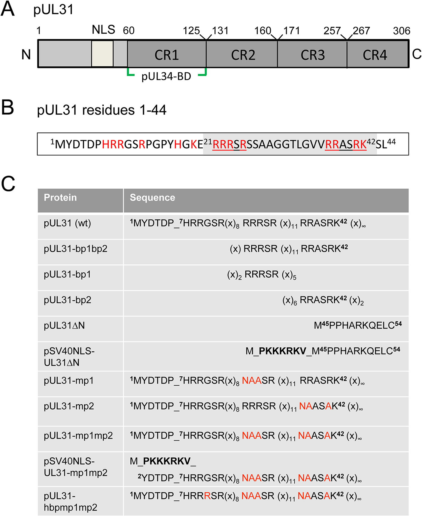 Domain organization and N-terminal mutants of pUL31.