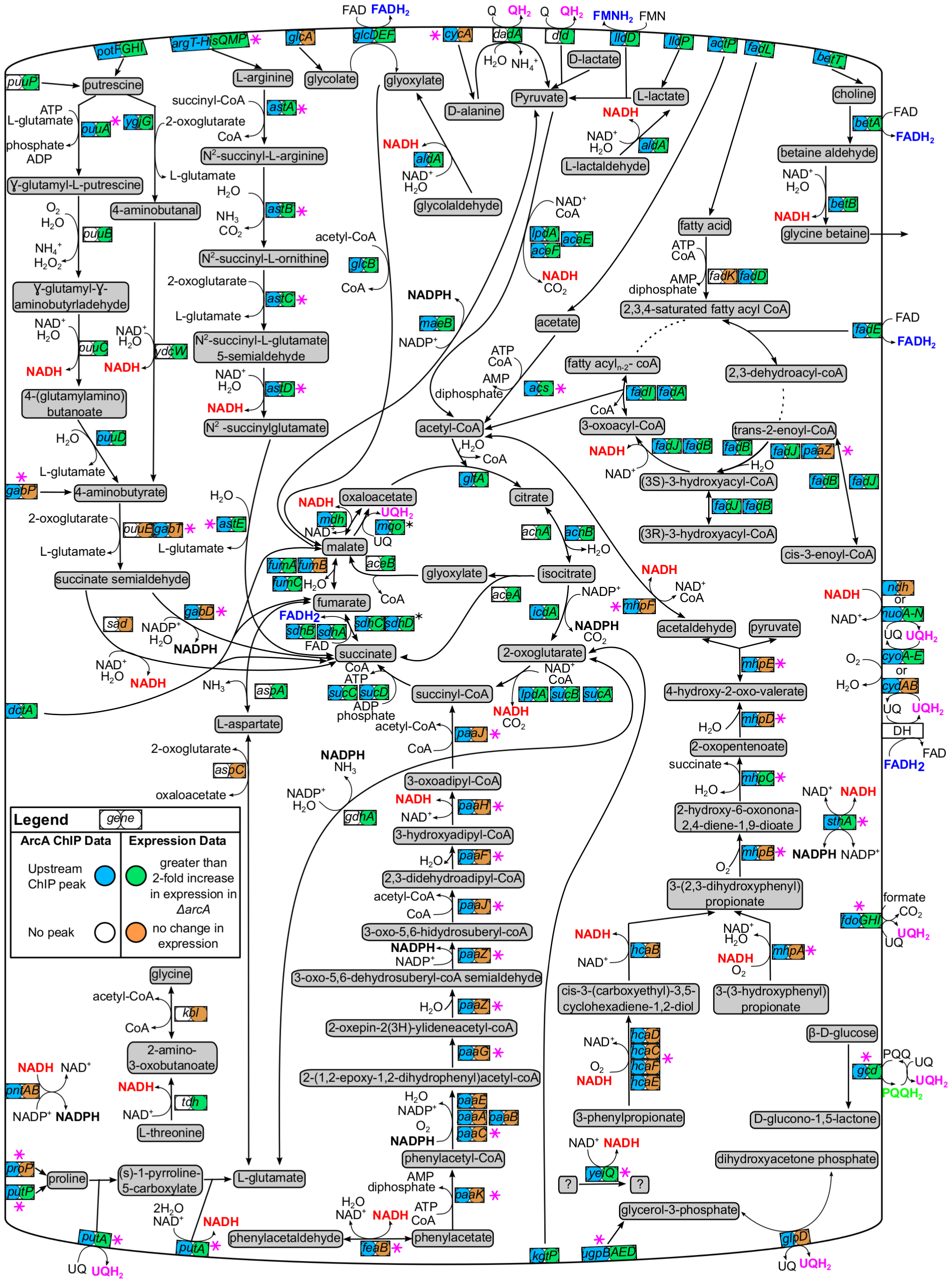 Carbon oxidation pathways regulated by ArcA.