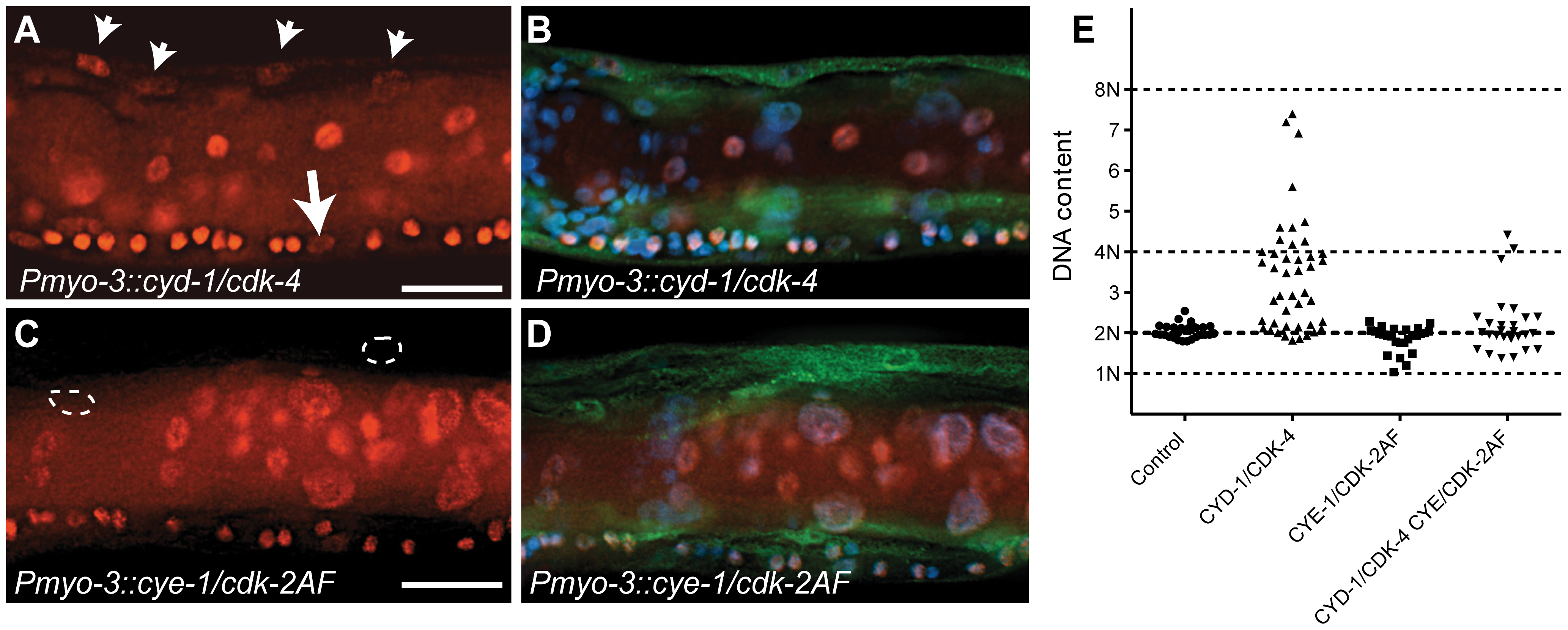 <i>C. elegans</i> Cyclin D/CDK-4 induces DNA replication in muscle.