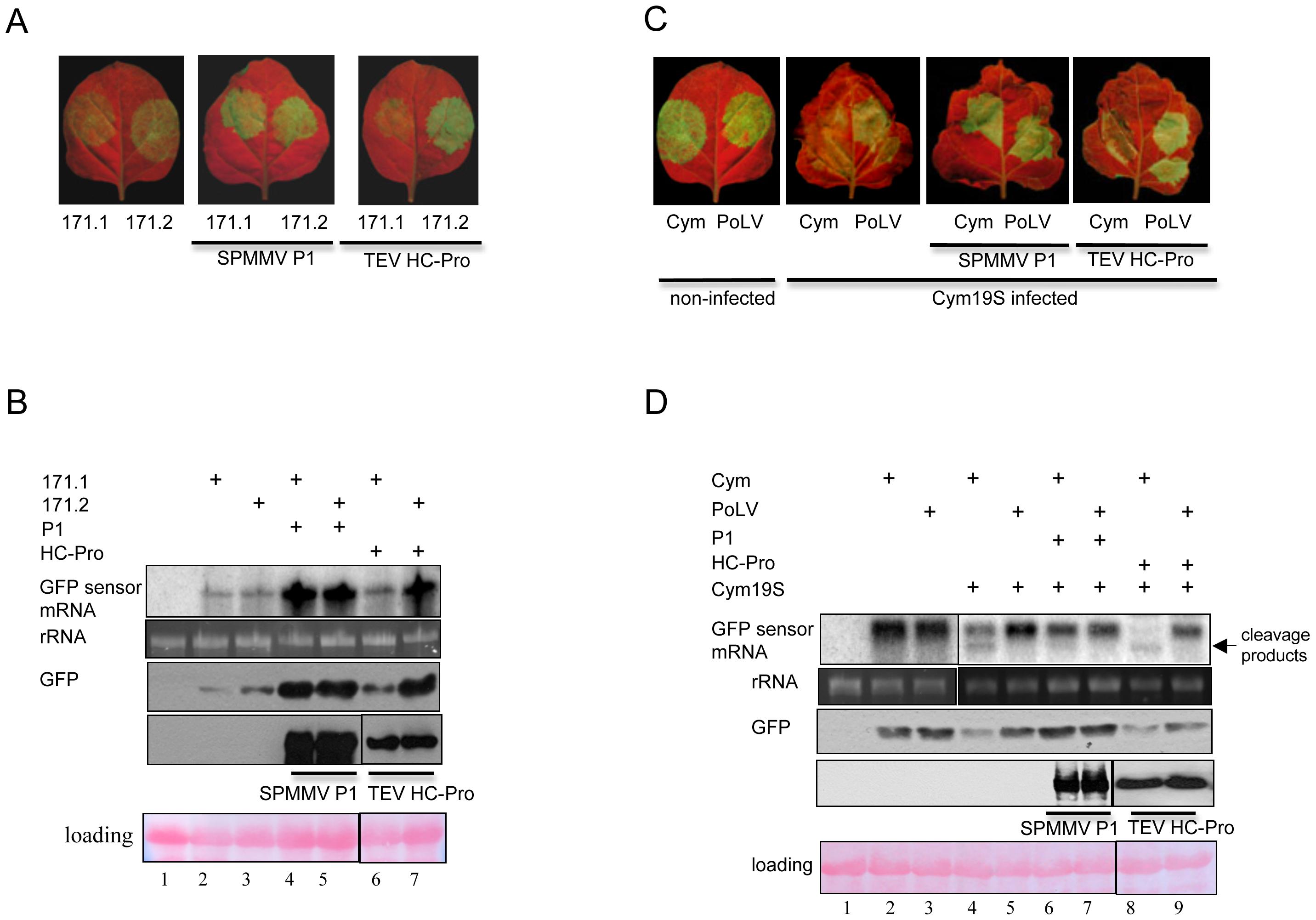 SPMMV P1 inhibits miRNA and viral siRNA loaded RISCs.