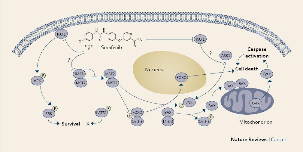Účinek sorafenibu v nádorové buňce. Fig. 1. The mechanism of action of sorafenib in a cancer cell.