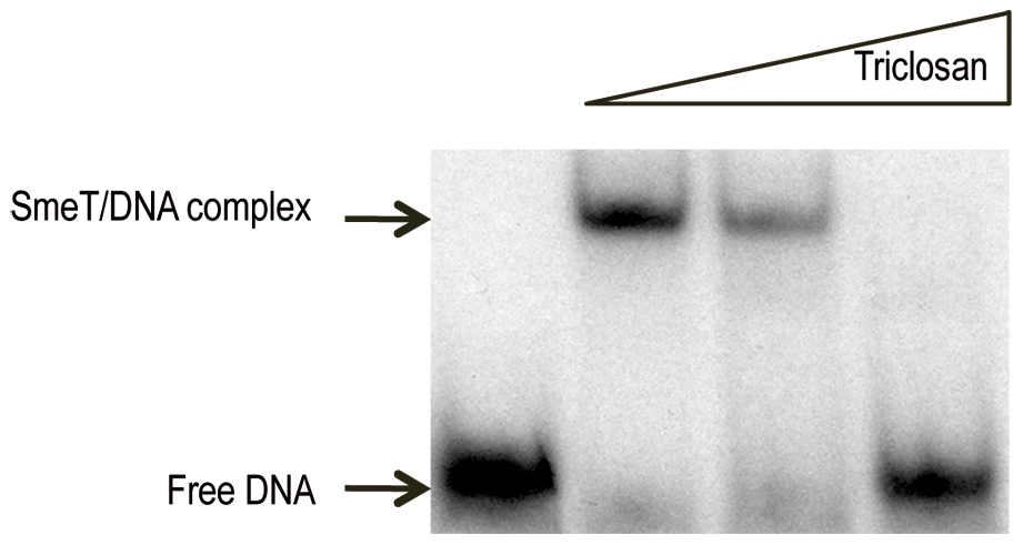 Triclosan breaks the SmeT-DNA complex.