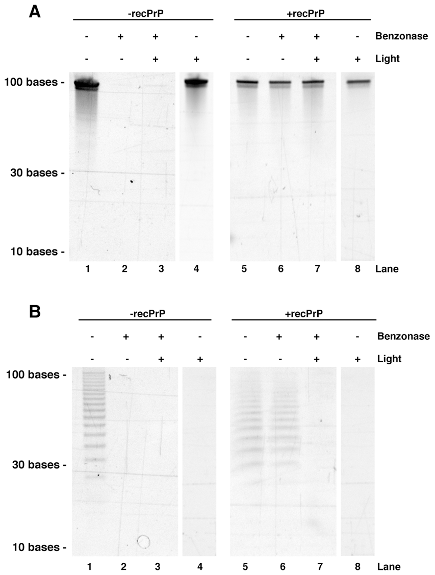 Acrylamide gel electrophoresis showing the effects of benzonase and light treatment on oligonucleotide integrity.