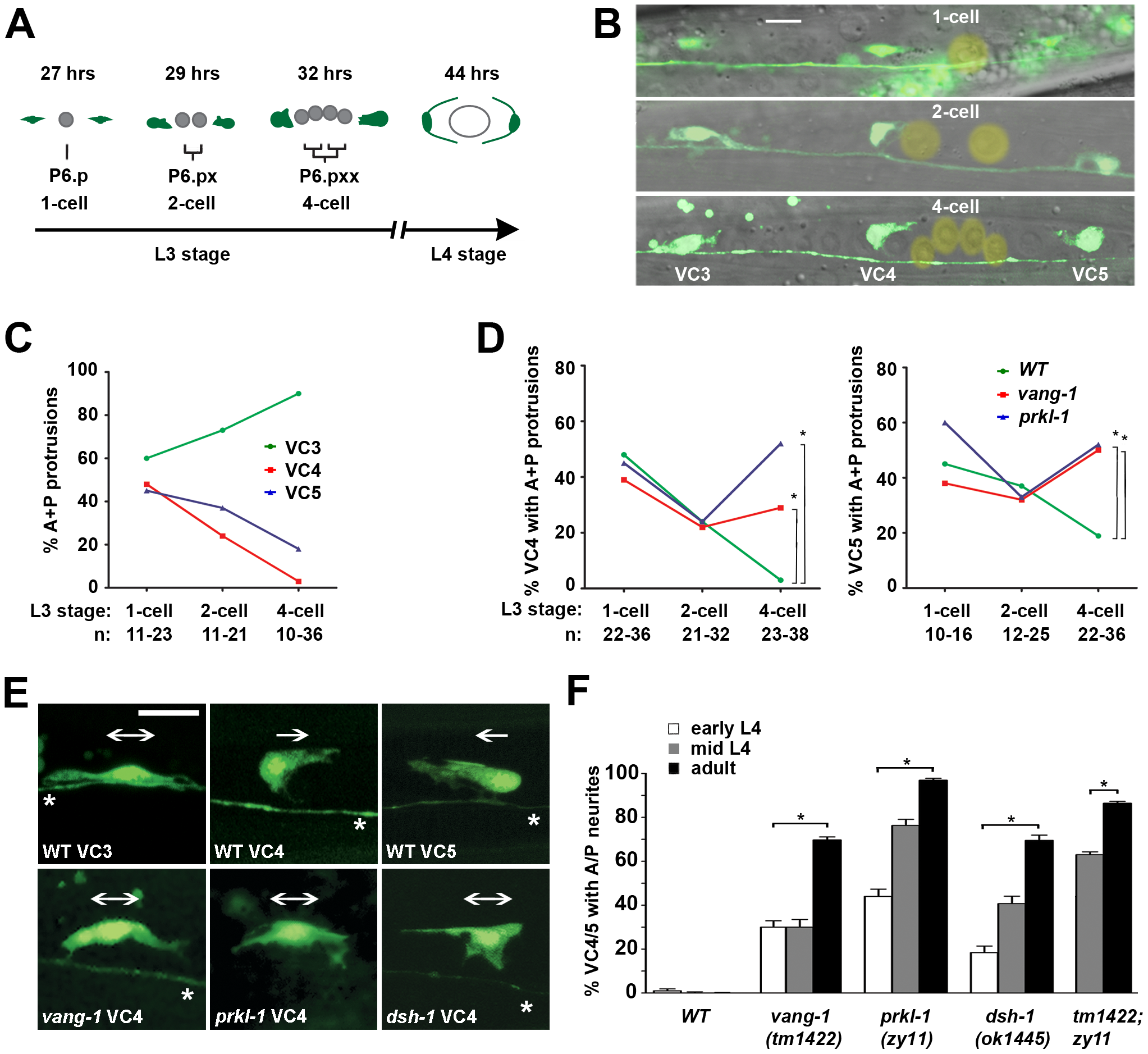 PCP-like signaling maintains VC4 and VC5 polarity after a bipolar to unipolar reorientation along the A/P axis.