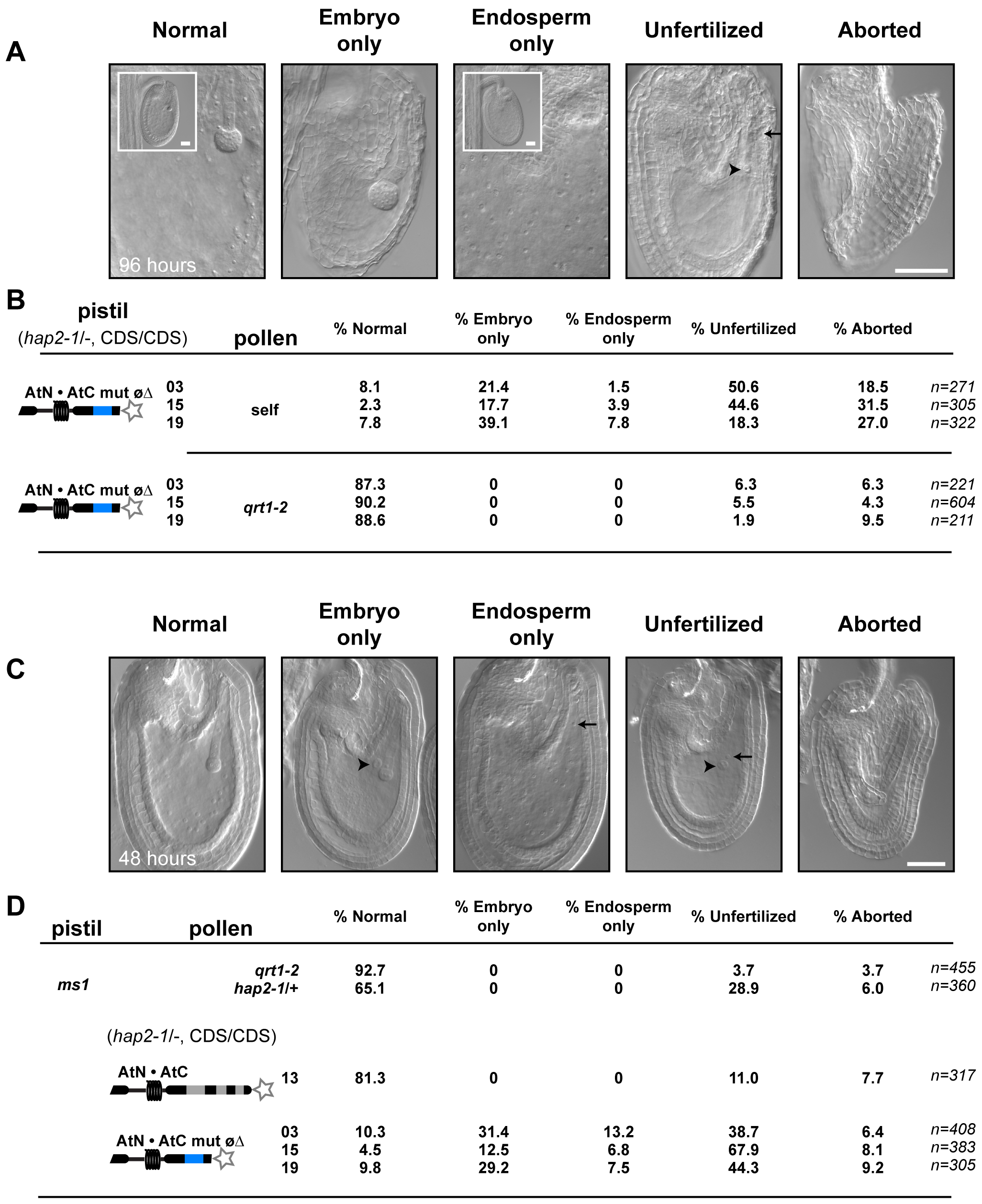 AtN•AtC mut øΔ, <i>hap2-1</i> sperm are defective at double fertilization.