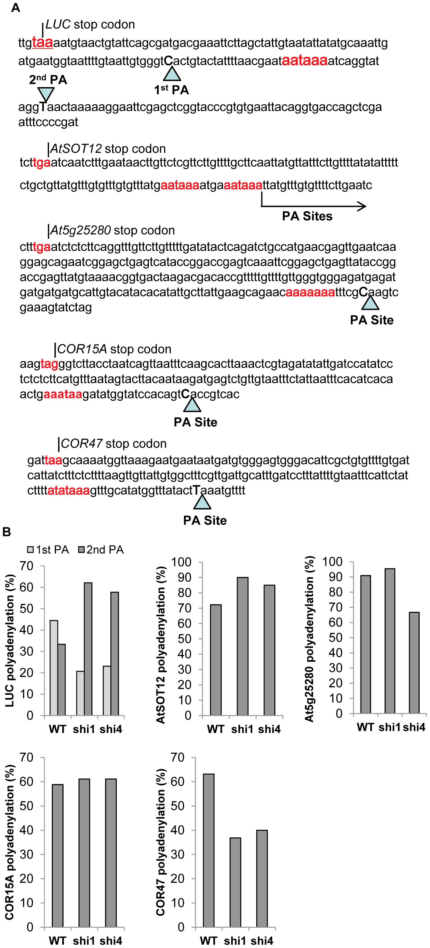Detection of polyadenylation site selection of the transcripts of <i>LUC</i>, <i>AtSOT12</i>, <i>At5g25280</i>, <i>COR15A</i>, and <i>COR47</i> wild type, <i>shi1</i> and <i>shi4</i> mutants.