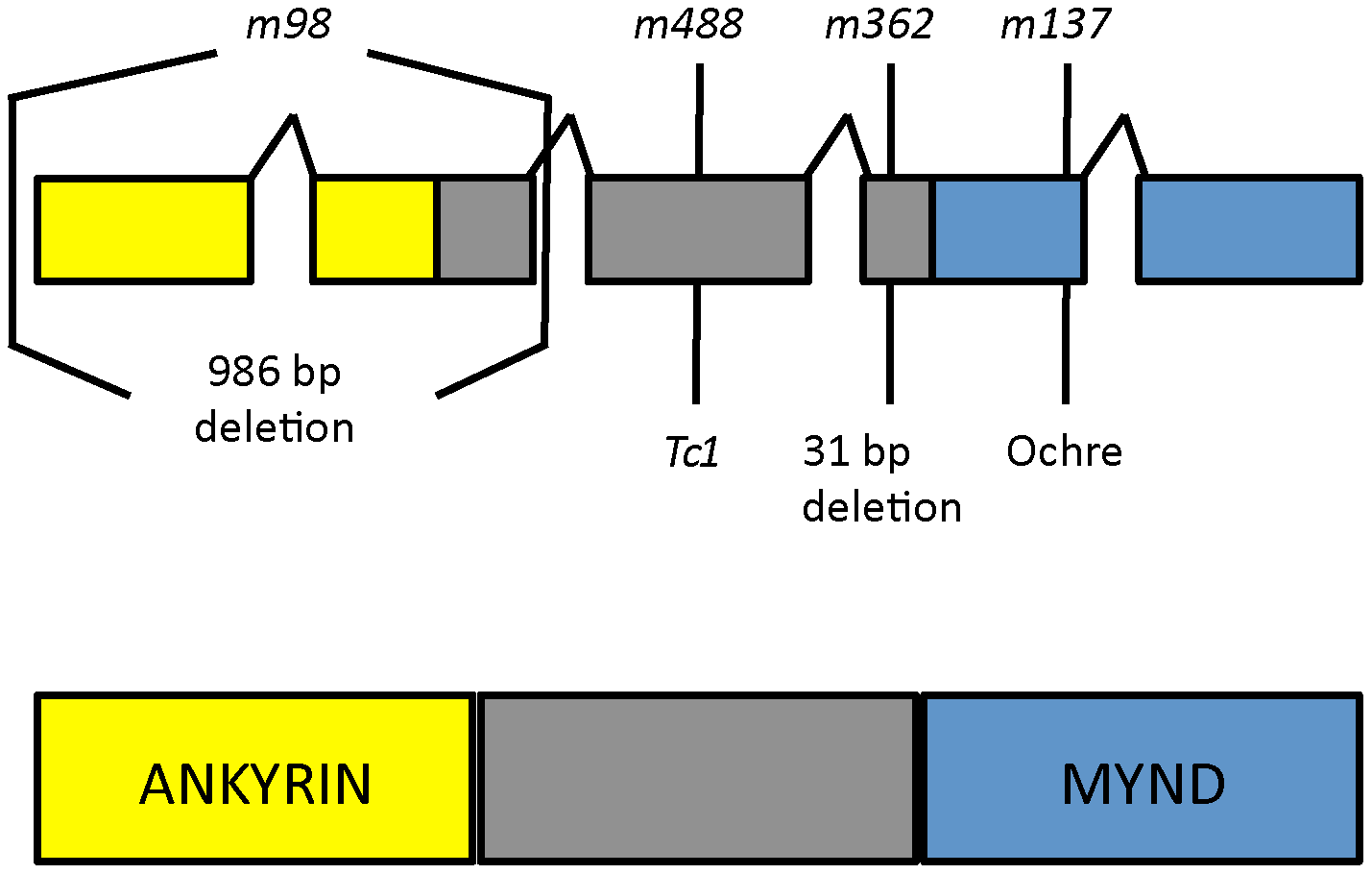<i>daf-25</i> alleles encode the ortholog of mammalian Ankmy2.