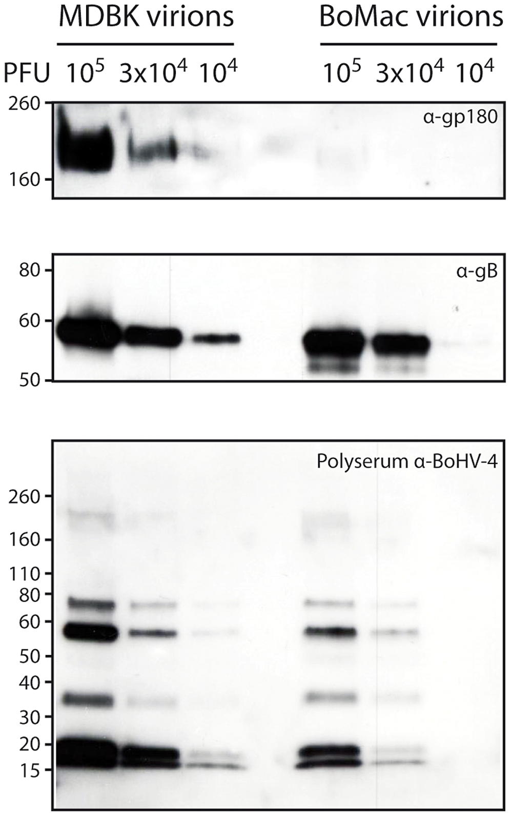 Bovine epithelial and myeloid cells produce different kinds of BoHV-4 virions.
