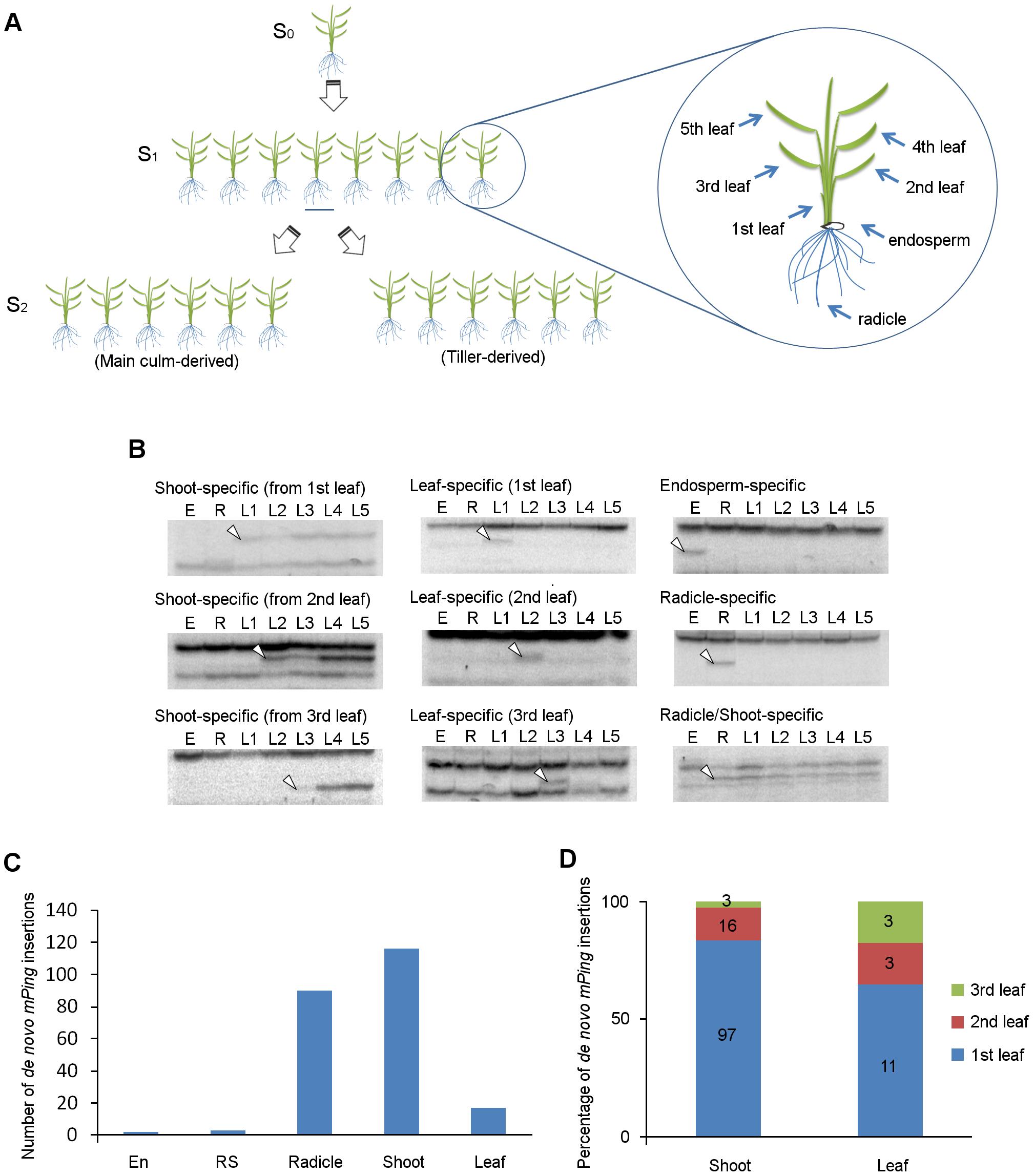 <i>De novo mPing</i> insertions during rice ontogeny.