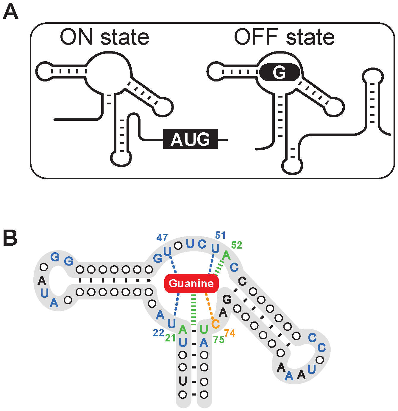 The structure of the guanine riboswitch.