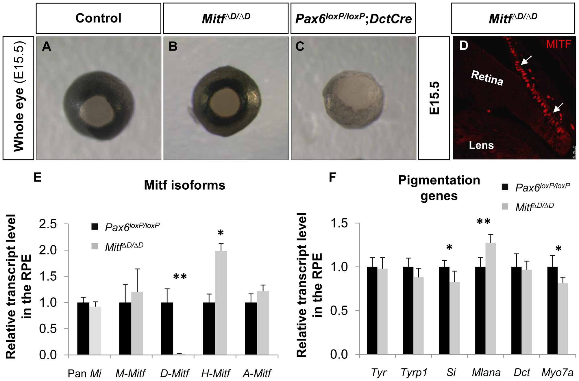<i>D-Mitf</i> is dispensable for melanogenesis in the RPE.