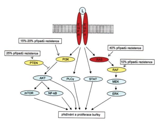Přehled základních drah vedoucích od receptoru pro epidermální růstový faktor (EGFR). U kolorektálního karcinomu hrají zásadní roli při rozvoji malignity především dráhy aktivované proteiny PI3K a RAS (všechny jeho typy). Kromě PI3K a RAS signalizační kaskády jsou aktivovány i další dráhy, například dráha fosfolipázy Cγ či rodiny transkripčních faktorů STAT. Červeně označené proteiny mají potvrzený prediktivní či prognostický význam a jsou zkoumány během výběru vhodné léčby pro pacienta či předpověď závažnosti onemocnění. Žlutě označené proteiny v současnosti využívány pro prognostické či prediktivní účely nejsou, ale po dalším ověření by jejich mutační či expresní změny mohly sloužit jako důležité faktory pro indikaci vhodné terapie. U proteinů RAS, PI3K, RAF a PTEN jsou uváděn odhadovaný procentuální podíl na rezistenci k léčbě monoklonálními protilátkami proti EGFR. Upraveno podle [20] a podle dat z internetové databáze signálních drah http://www.biocarta.com/genes/allPathways. asp; mTOR = mechanistic target of rapamycin (serine/threonine kinase); PLCγ = phospholipase C, gamma; STAT = signal transducer and activator of transcription. Fig. 1. Overview of the signaling cascades activated by the epidermal growth factor receptor. The major role in the development of the colorectal carcinoma play pathways activated by PI3K and RAS proteins. In addition to PI3K and RAS signalling cascades, EGFR signalling activates other pathways like phospholipase Cγ or the family of STAT transcription factors. Red marked proteins are confirmed and used as a prognostic or predictive factors and are impotant for the selection of appropriate treatment or for the prediction of the disease outcome. Yellow marked proteins are not at present use for the prediction or prognosis, but after the future evaluation they can serve as a important factors for the selection of best treatment or for the disease prognosis. In the boxes next to the RAS, PI3K, RAF and PTEN proteins is the estimated perce