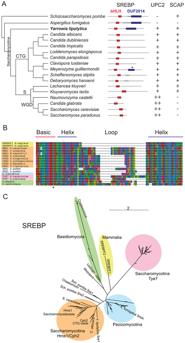Conservation of sterol regulatory proteins in fungi.