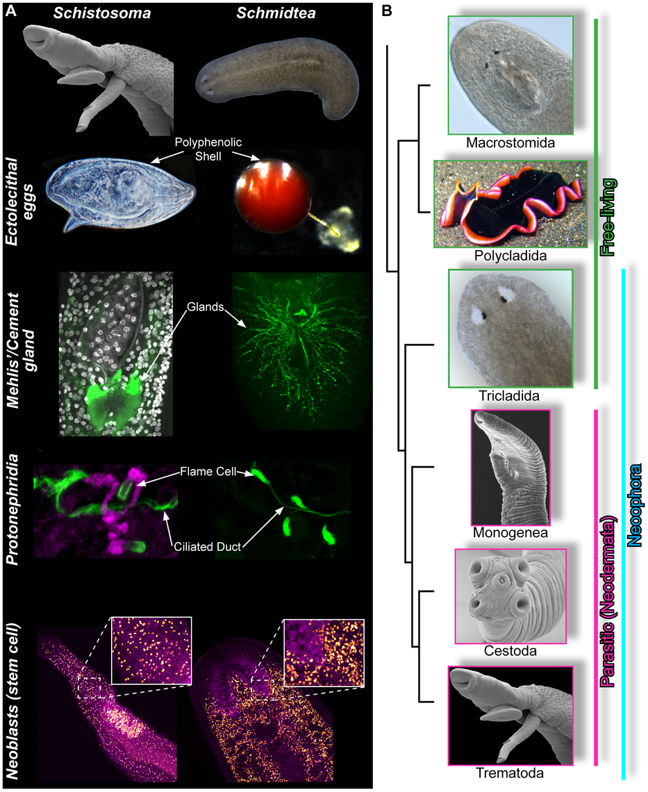 Similarities between schistosomes and planarians.