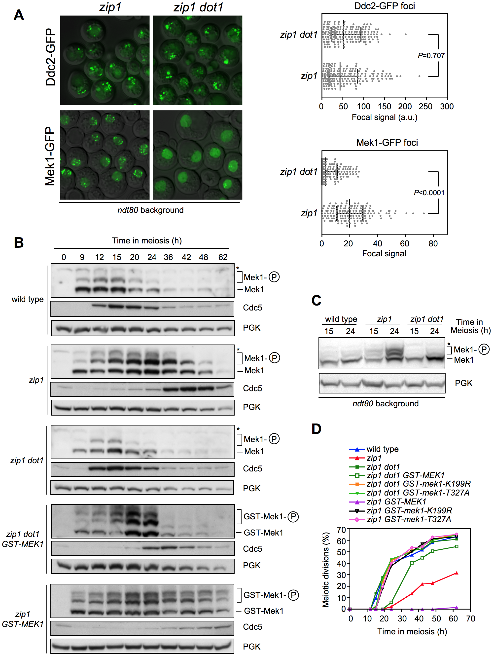 Dot1 is required for checkpoint-promoted localization and activation of Mek1.