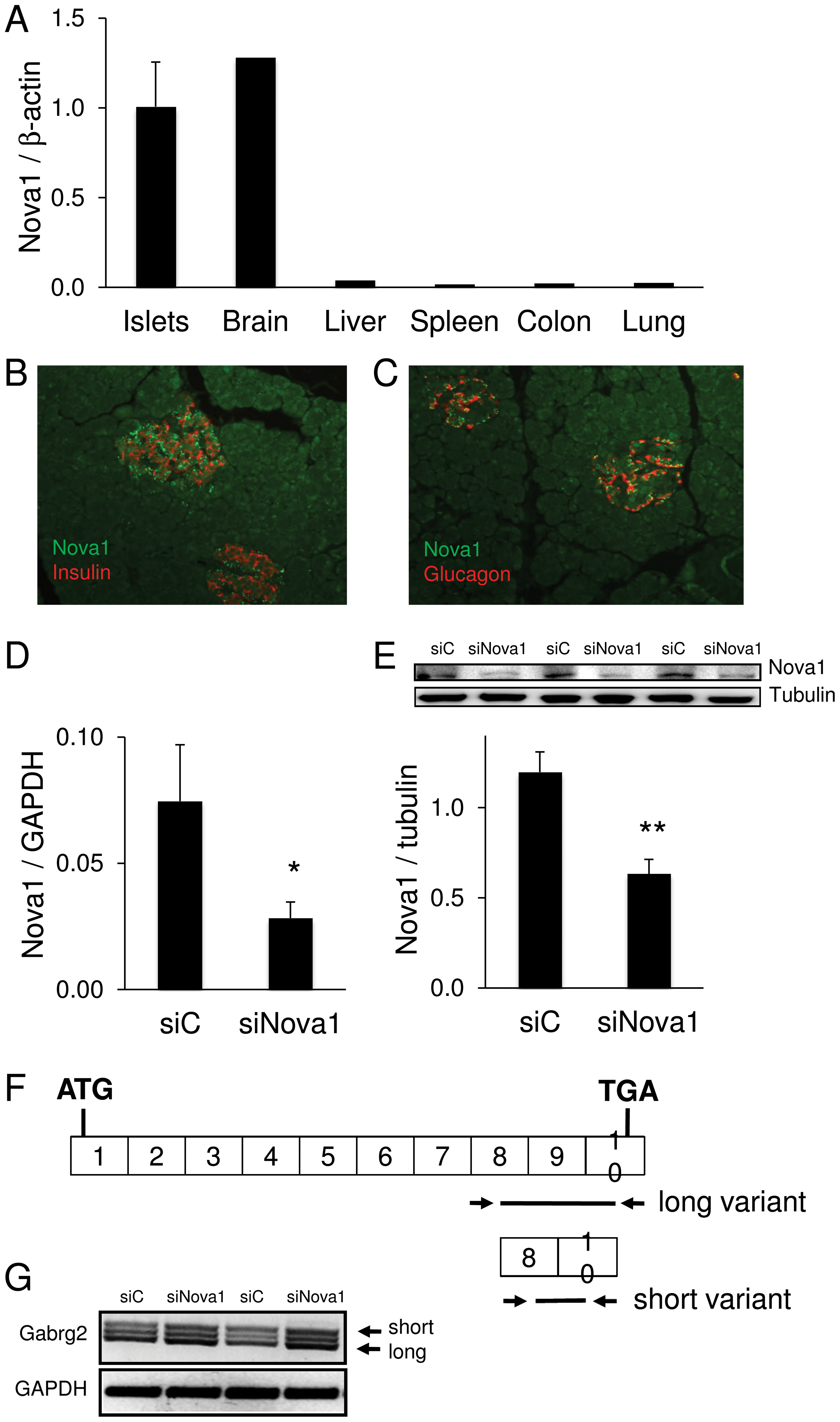 Nova1 expression and function in human pancreatic islets.