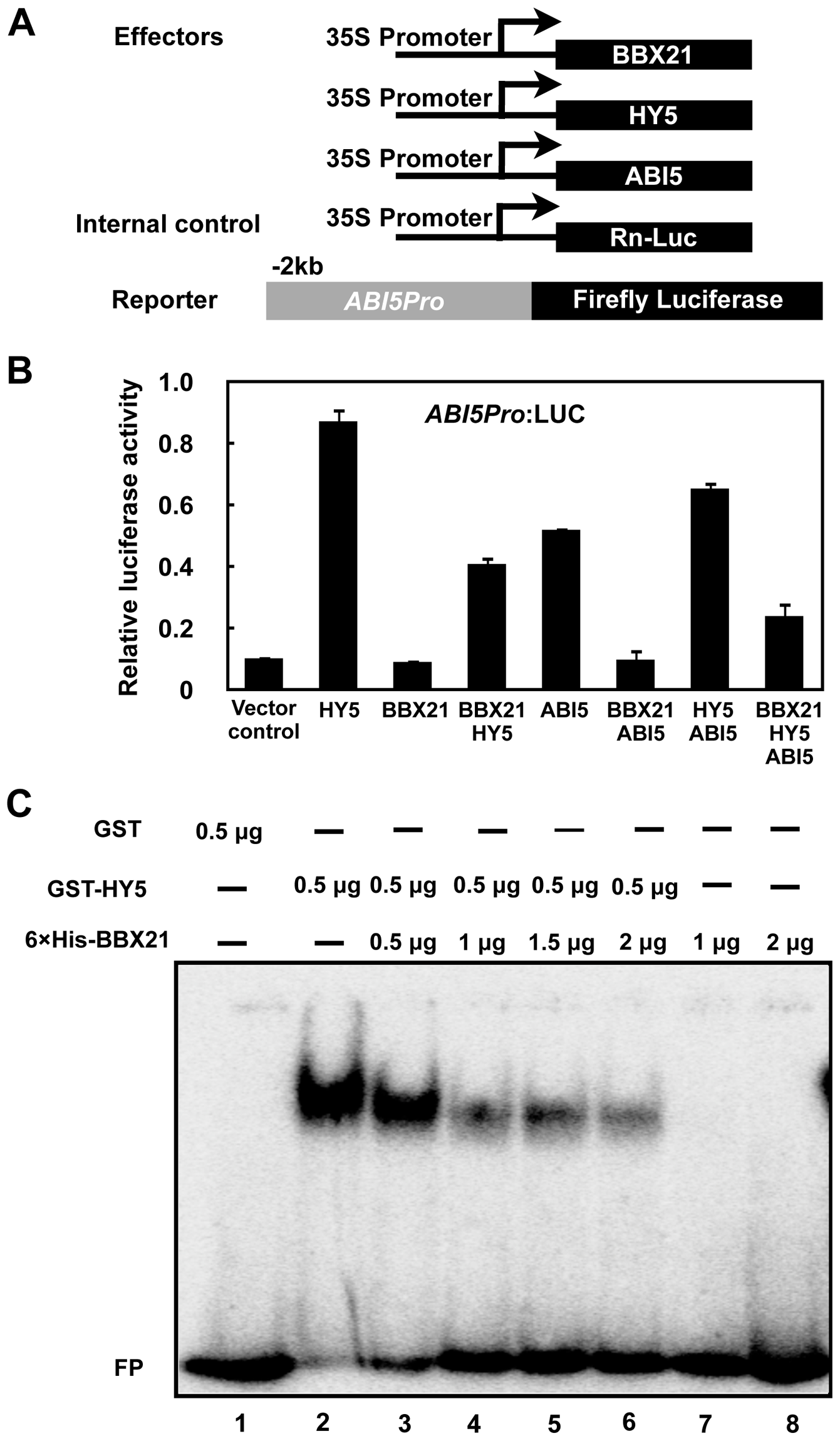 BBX21 negatively regulates <i>ABI5</i> expression by interfering with HY5 binding to the <i>ABI5</i> promoter.