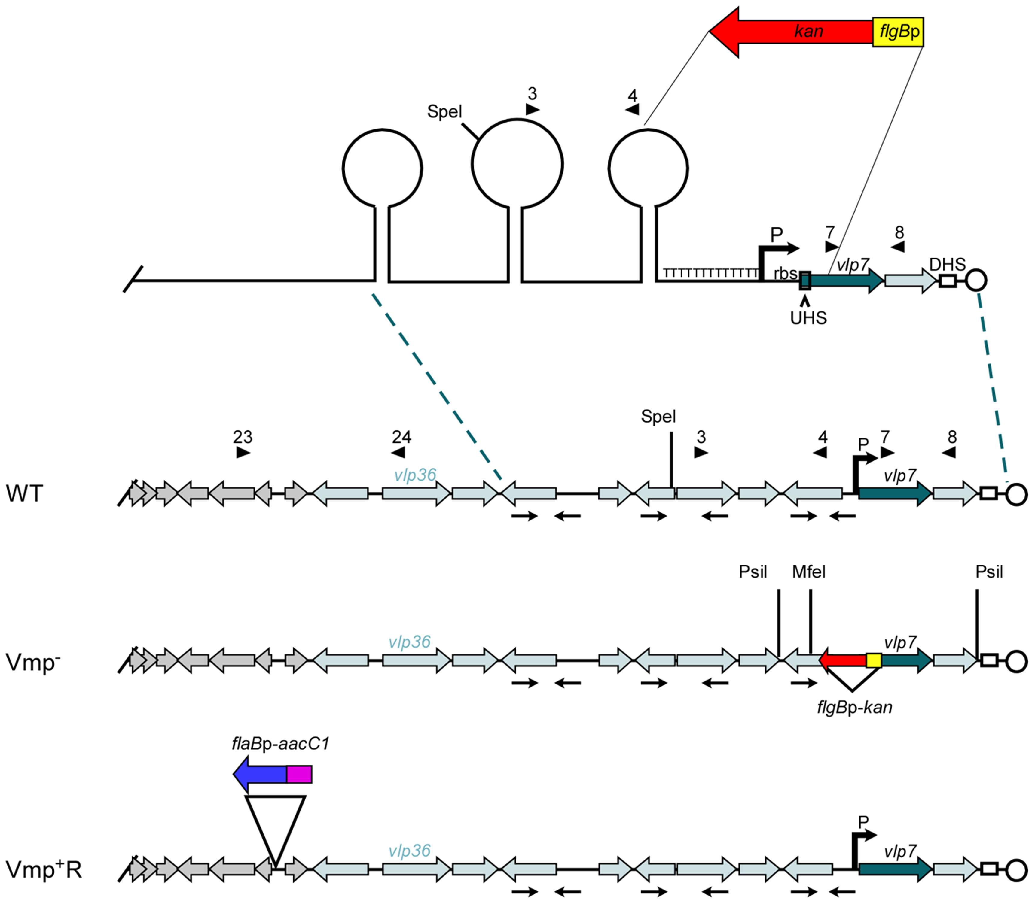 Diagram of the lp28-1 plasmids for the wild-type, Vmp<sup>−</sup> mutant and reconstituted Vmp<sup>+</sup>R strains.