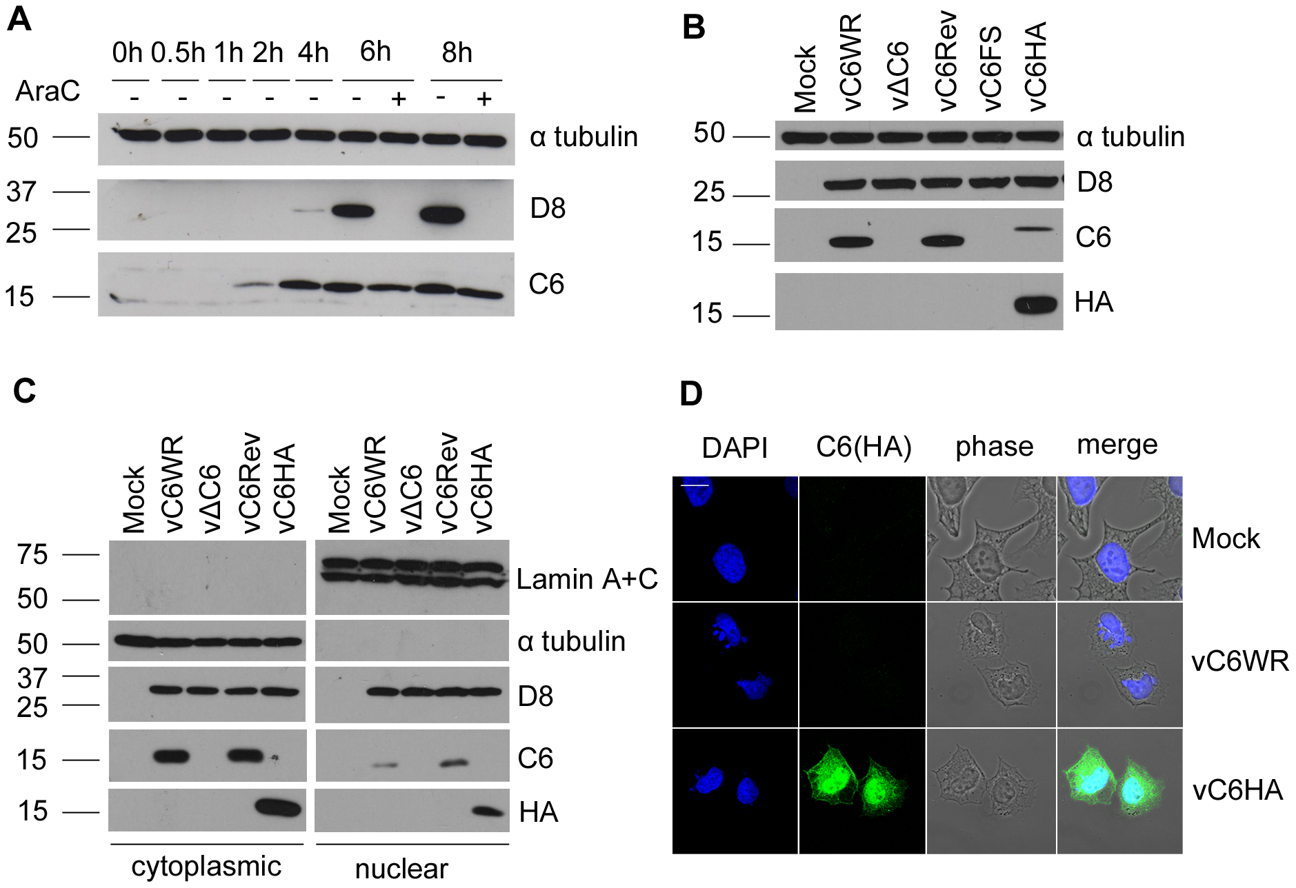 C6 is expressed early during infection and is present in both the cytoplasm and nucleus.
