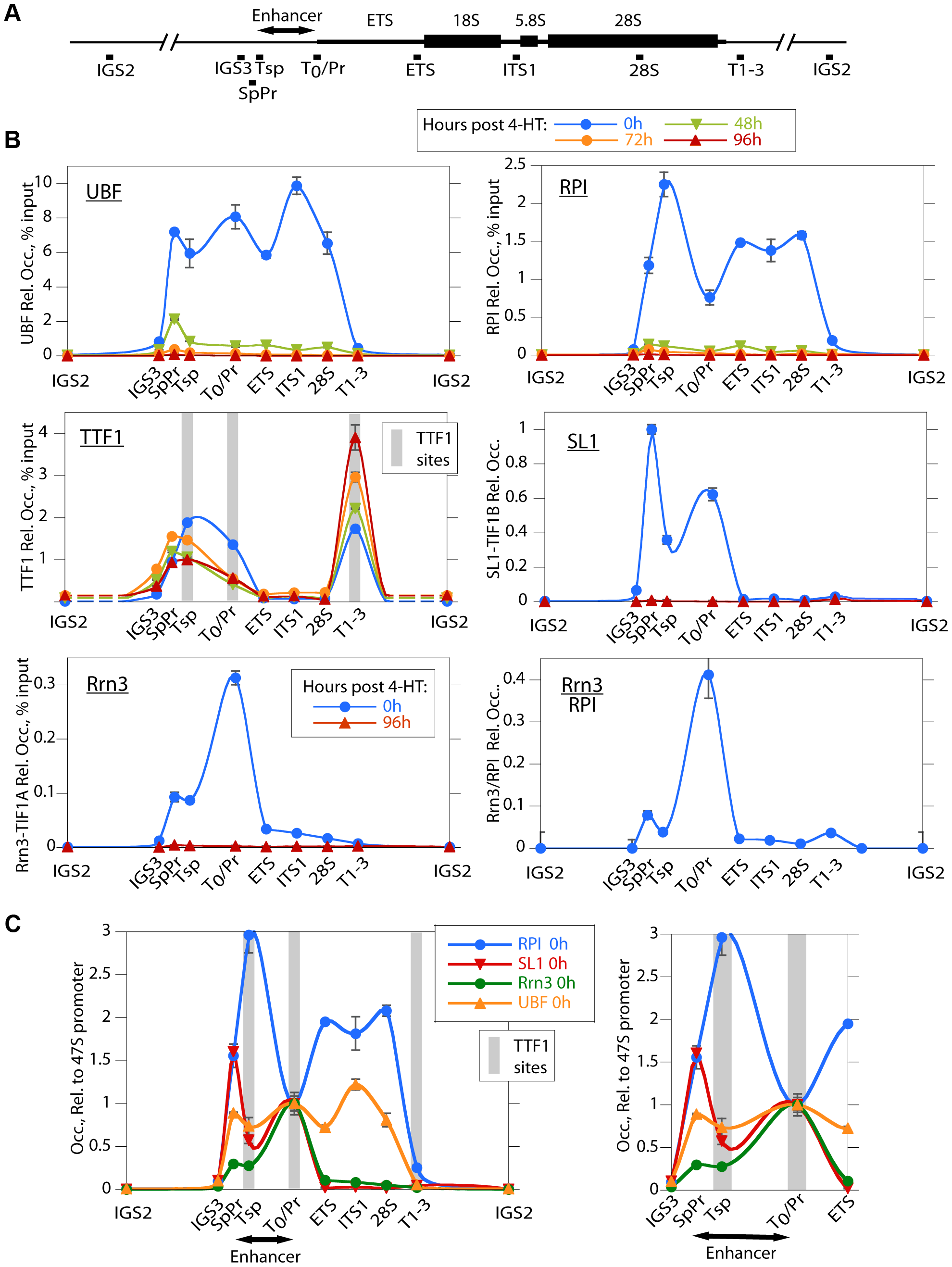 UBF elimination causes release of the RPI and all RPI initiation factors, but not of the termination factor TTF1.