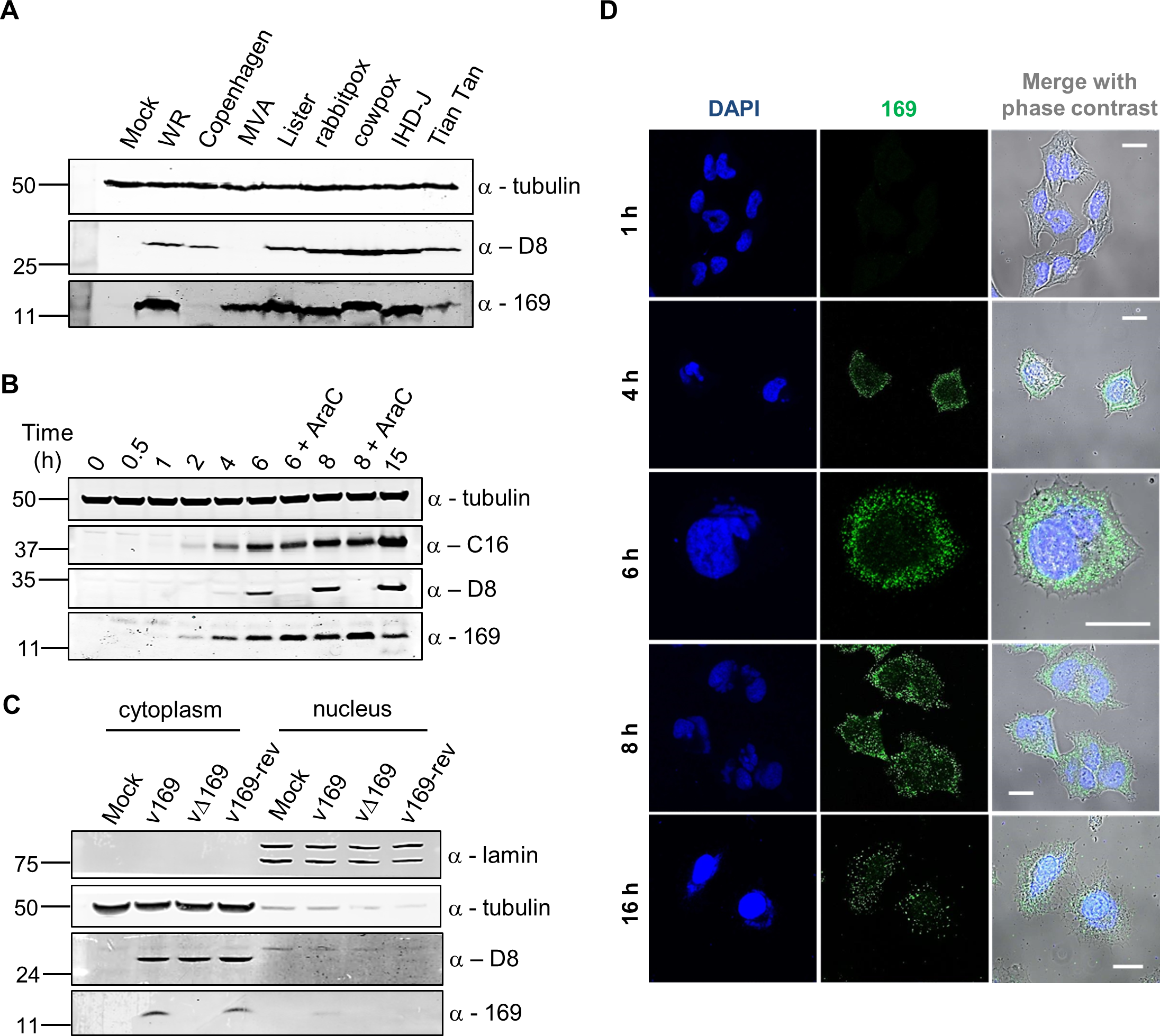 Protein 169 is expressed early and localizes in cytoplasmic puncta.