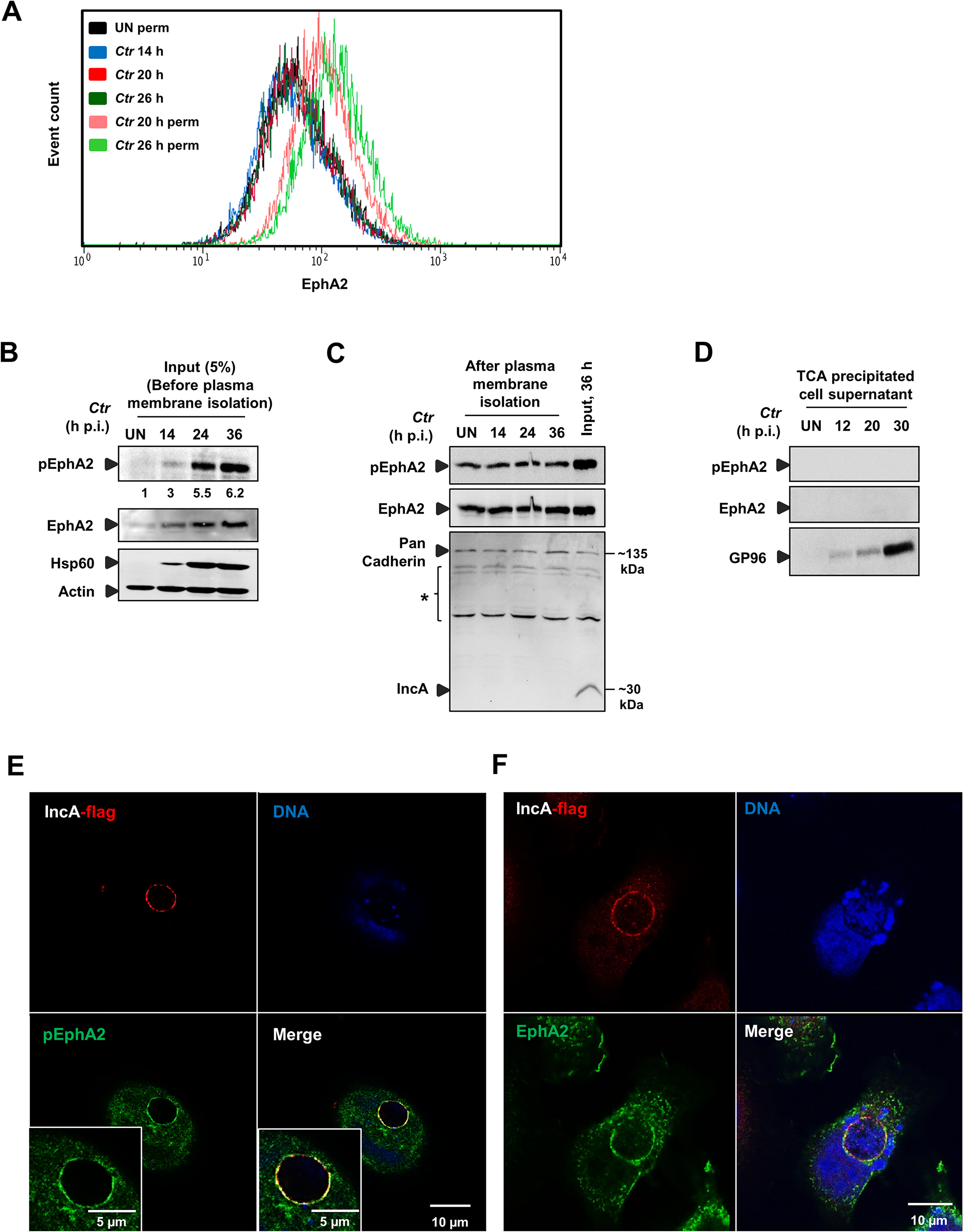 <i>Ctr</i>-induced EphA2 expression is prevented being re-translocated to the cell surface and is recruited to the inclusion membrane.