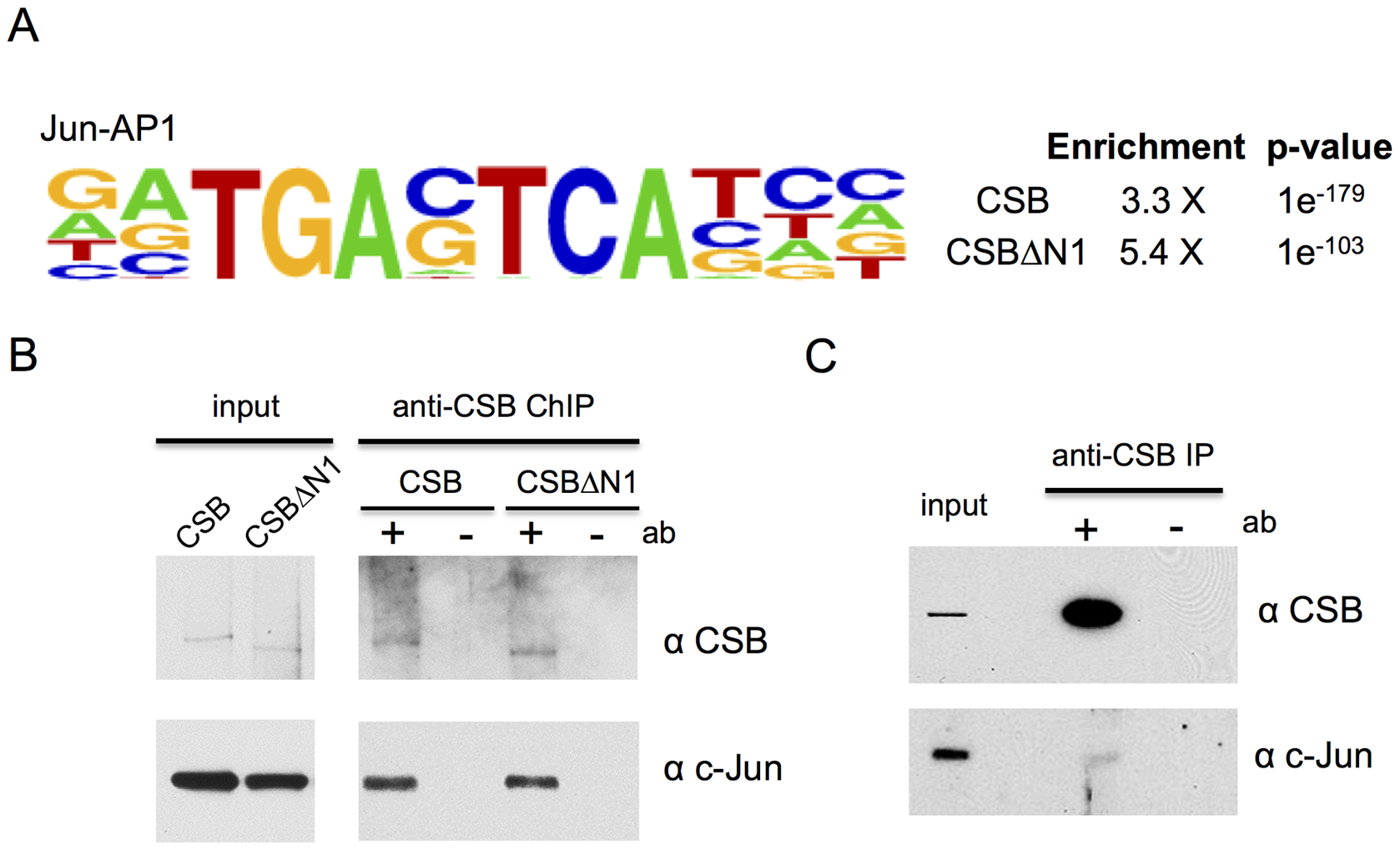 CSB and CSBΔN1 are enriched at sites containing the c-Jun/AP-1 binding motif (TPA-response element).