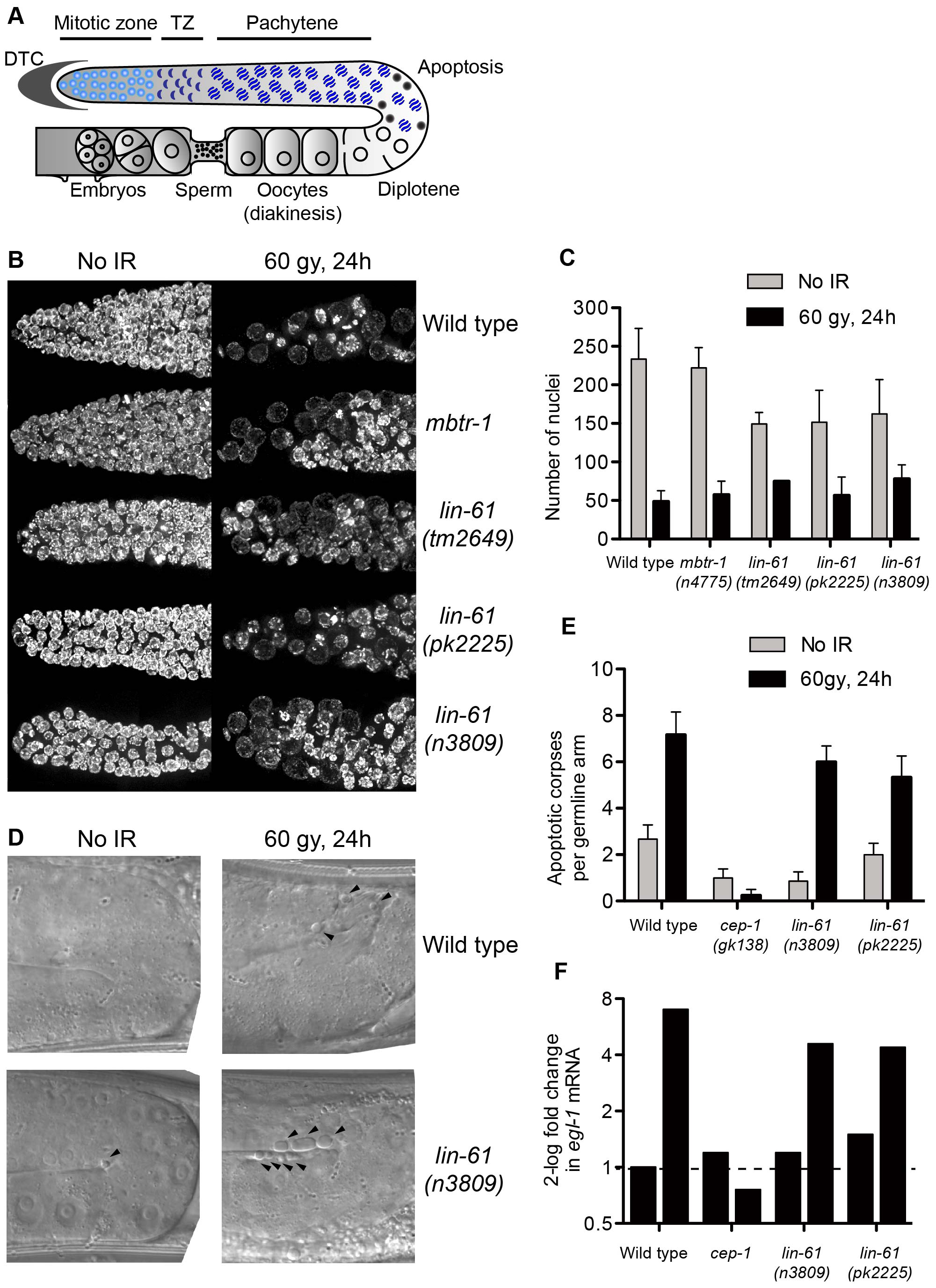 LIN-61 is dispensable for DNA damage checkpoints in the germline.