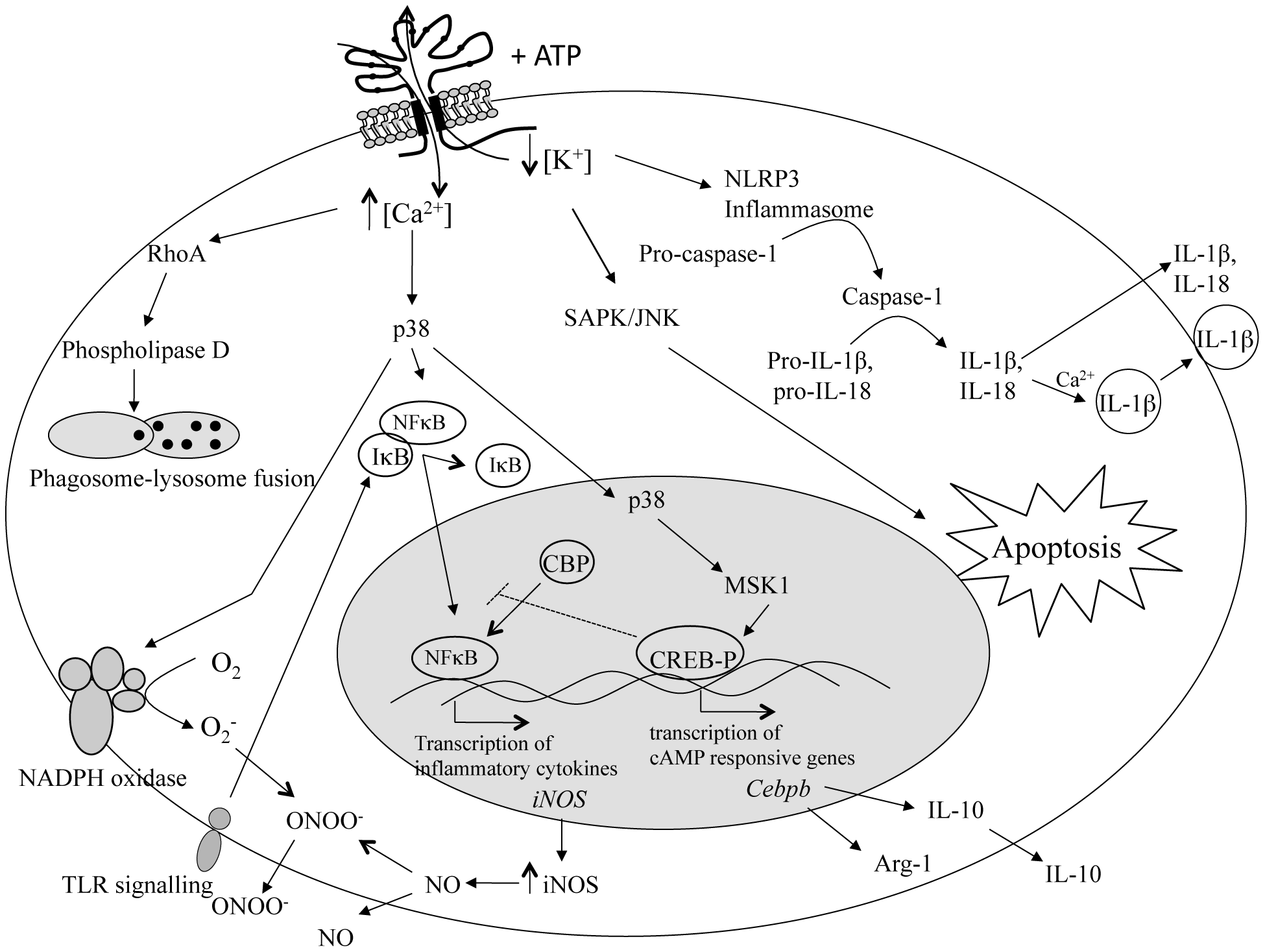 Intracellular pathways in immune cells stimulated by P2X<sub>7</sub> receptor activation.