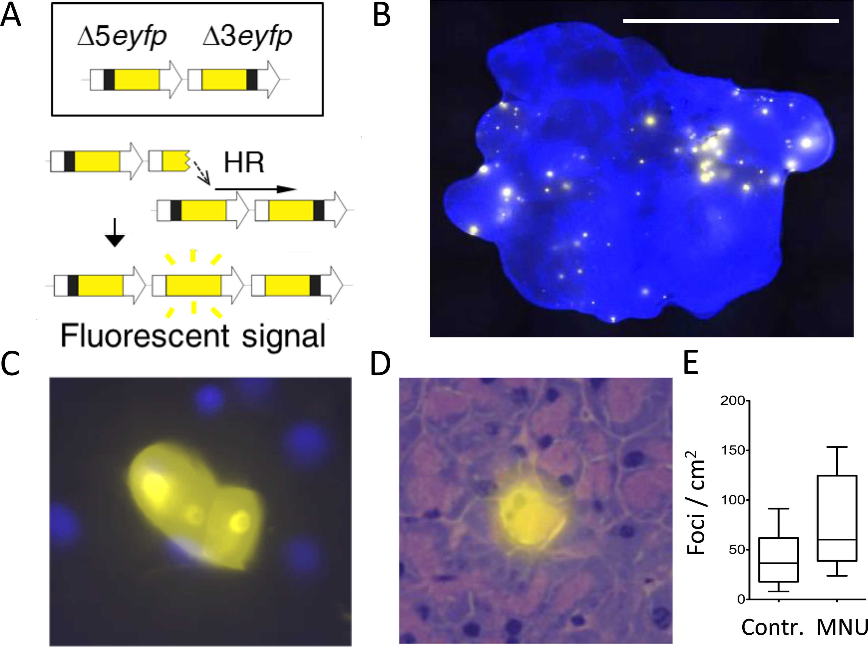 The FYDR mouse detects HR-derived sequence rearrangements <i>in situ</i> in intact tissue.